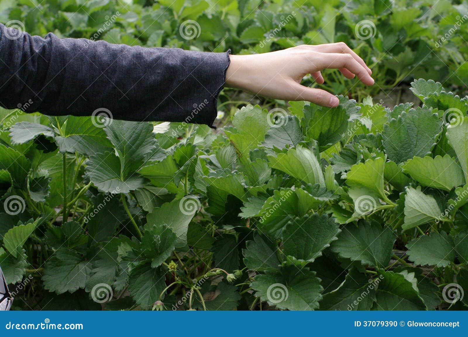 Download Wskazane Truskawki świeże Od Gospodarstwa Rolnego Zdjęcie Stock - Obraz złożonej z ręka, surowy: 37079390