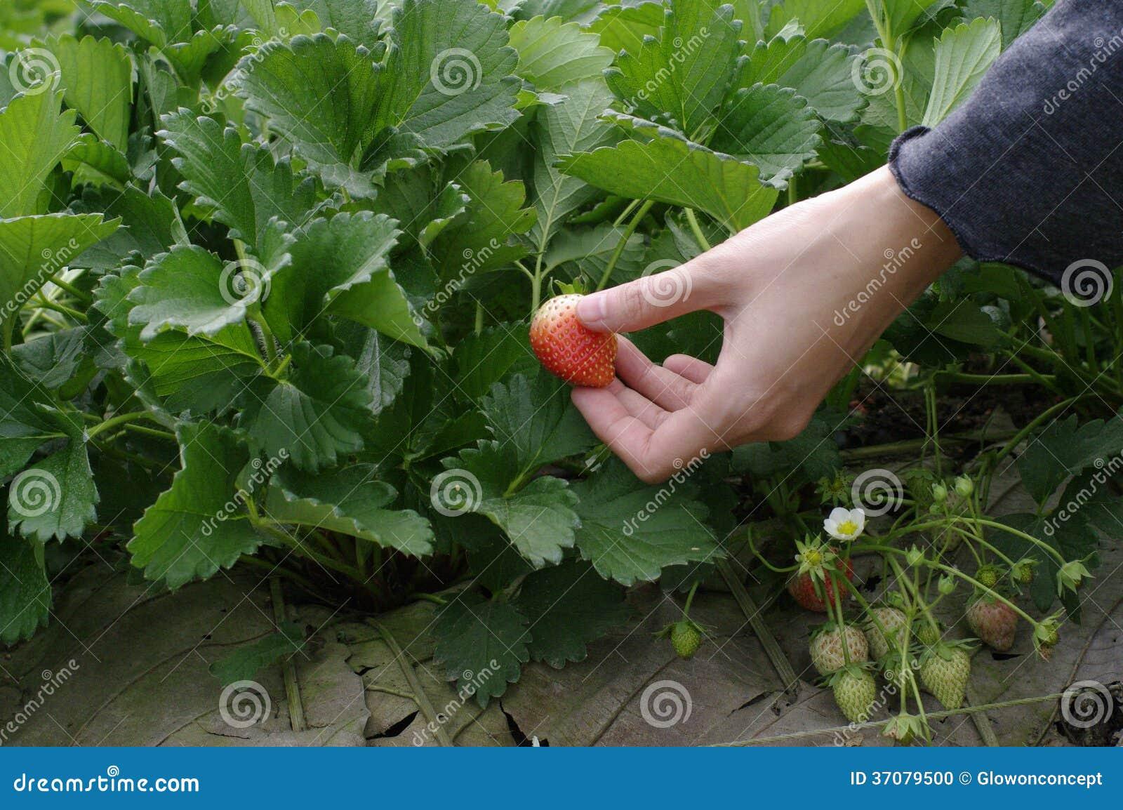 Download Wskazane Truskawki świeże Od Gospodarstwa Rolnego Zdjęcie Stock - Obraz złożonej z jagody, łasowanie: 37079500
