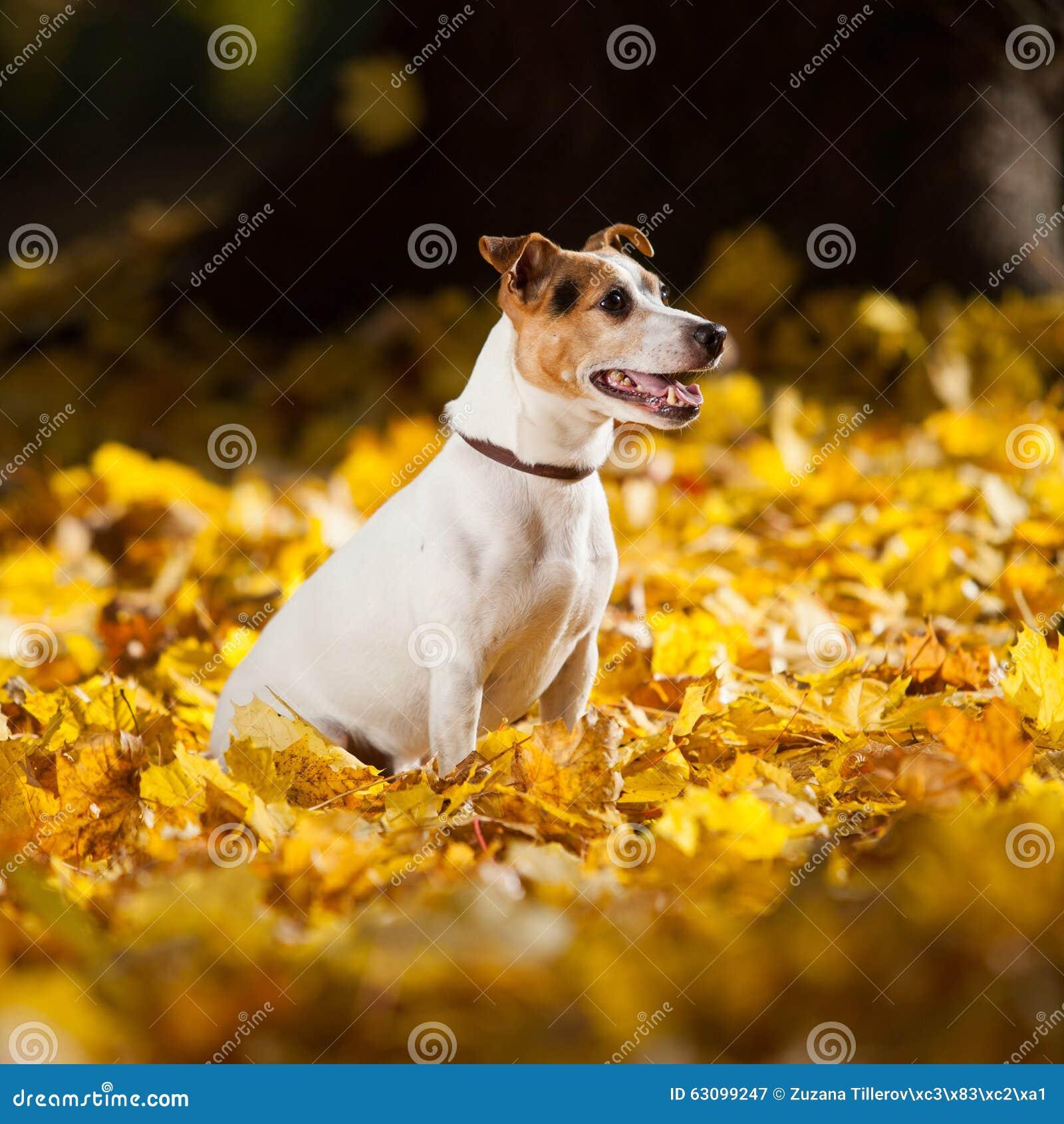 Wspaniały dźwigarki Russell teriera obsiadanie w żółtych liściach