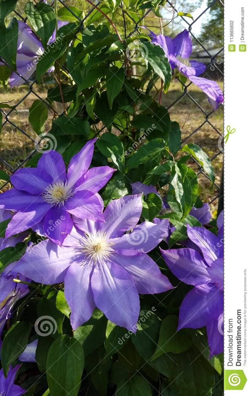 Wspinaczkowy Clematis