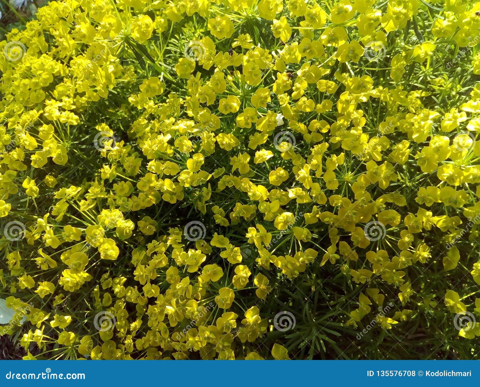 Wszystko skupiają się, kwitną, kolor żółty, natura, pole, wiosna, roślina