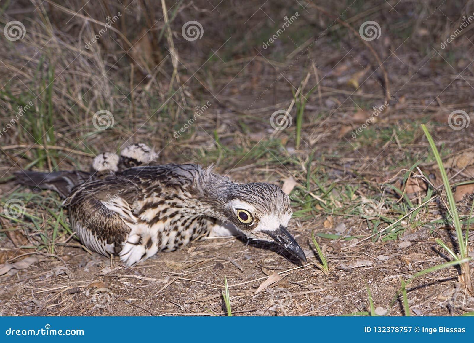 Wulpmoeder die haar kuikens verbergen