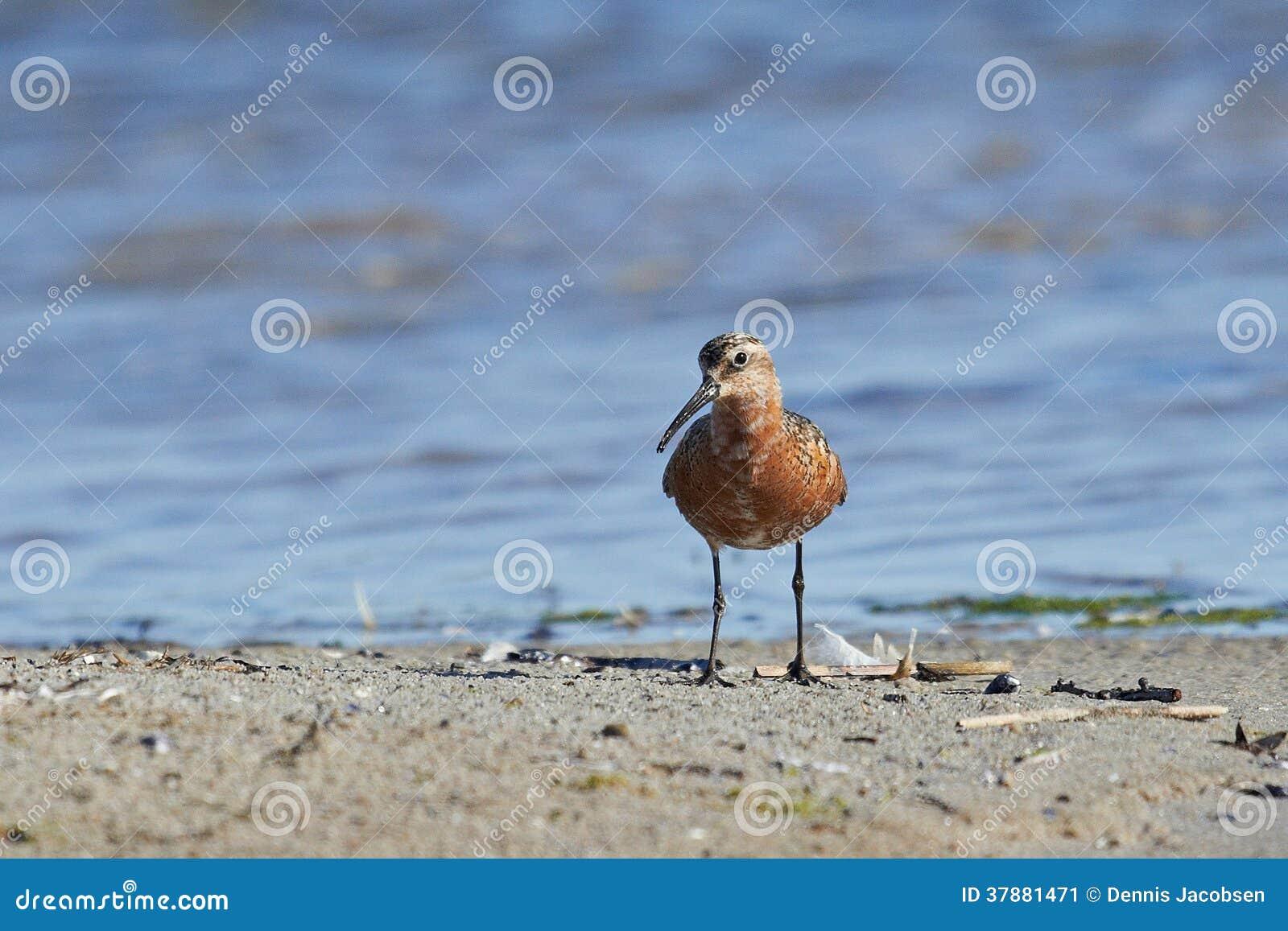 Wulpstrandloper (Calidris-ferruginea)