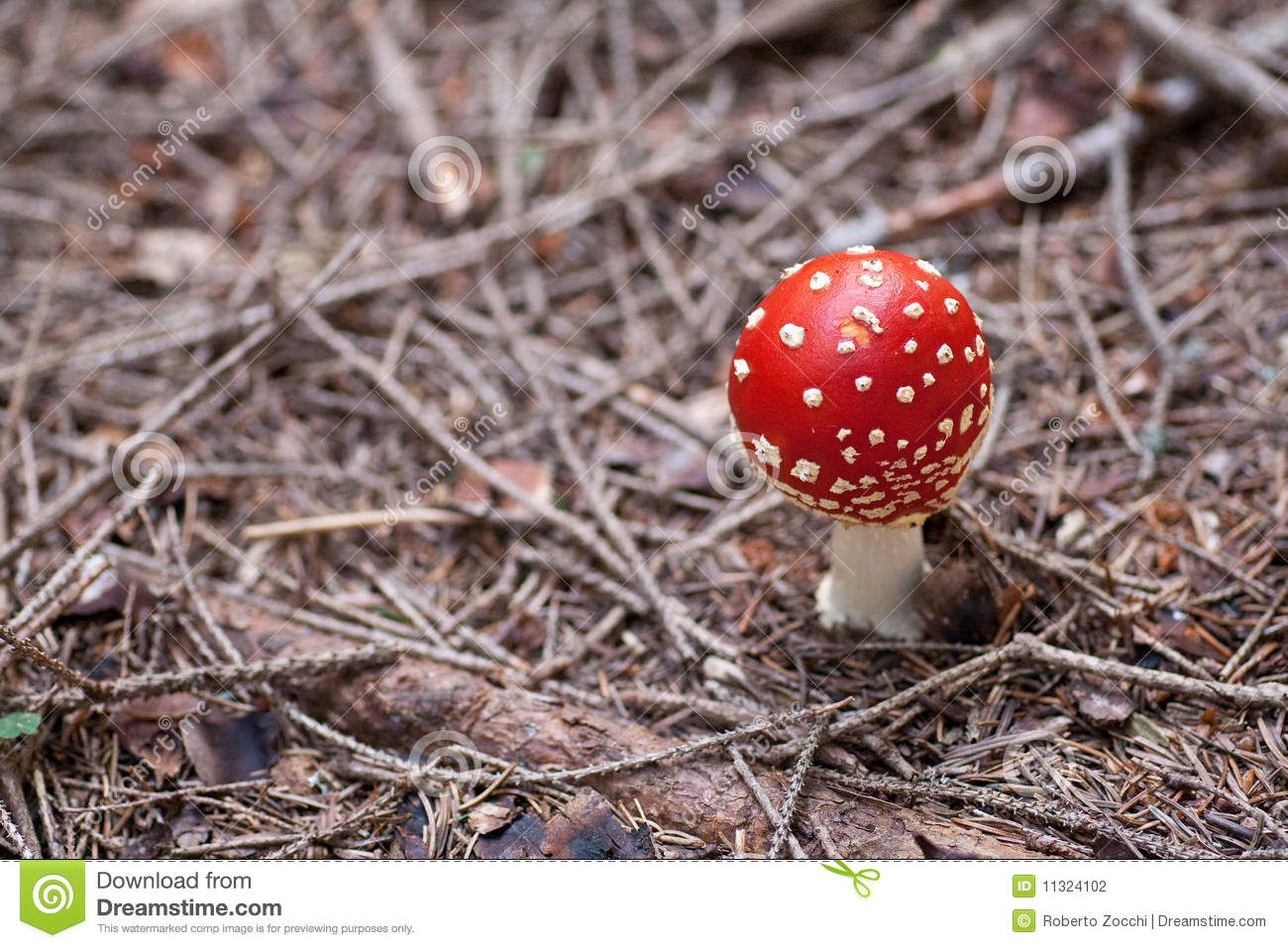 Wulstling muscaria