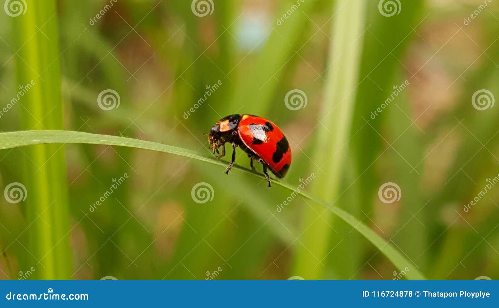 Wunderbarer Marienkäfer von Thailand