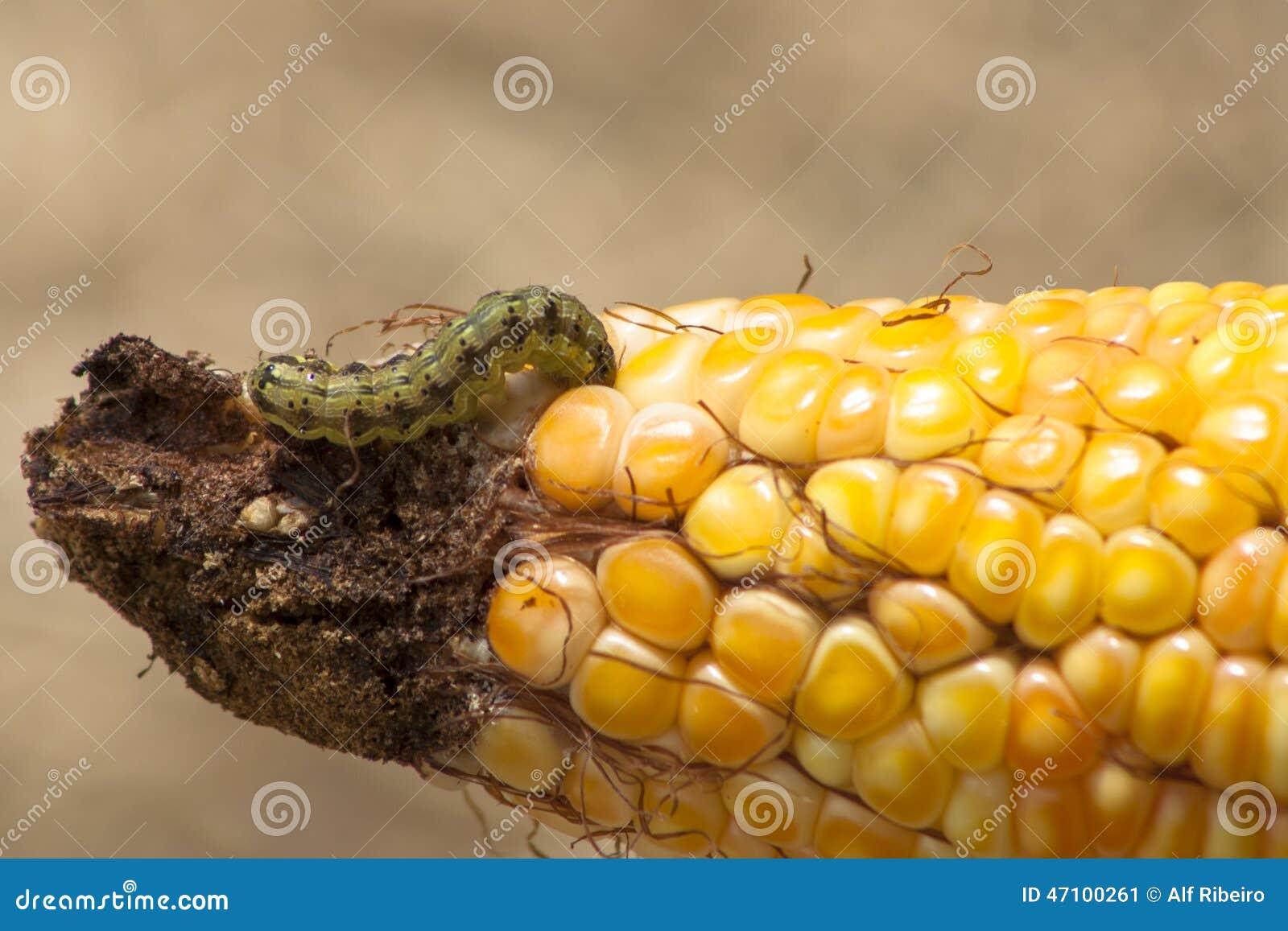 Wurm im Mais
