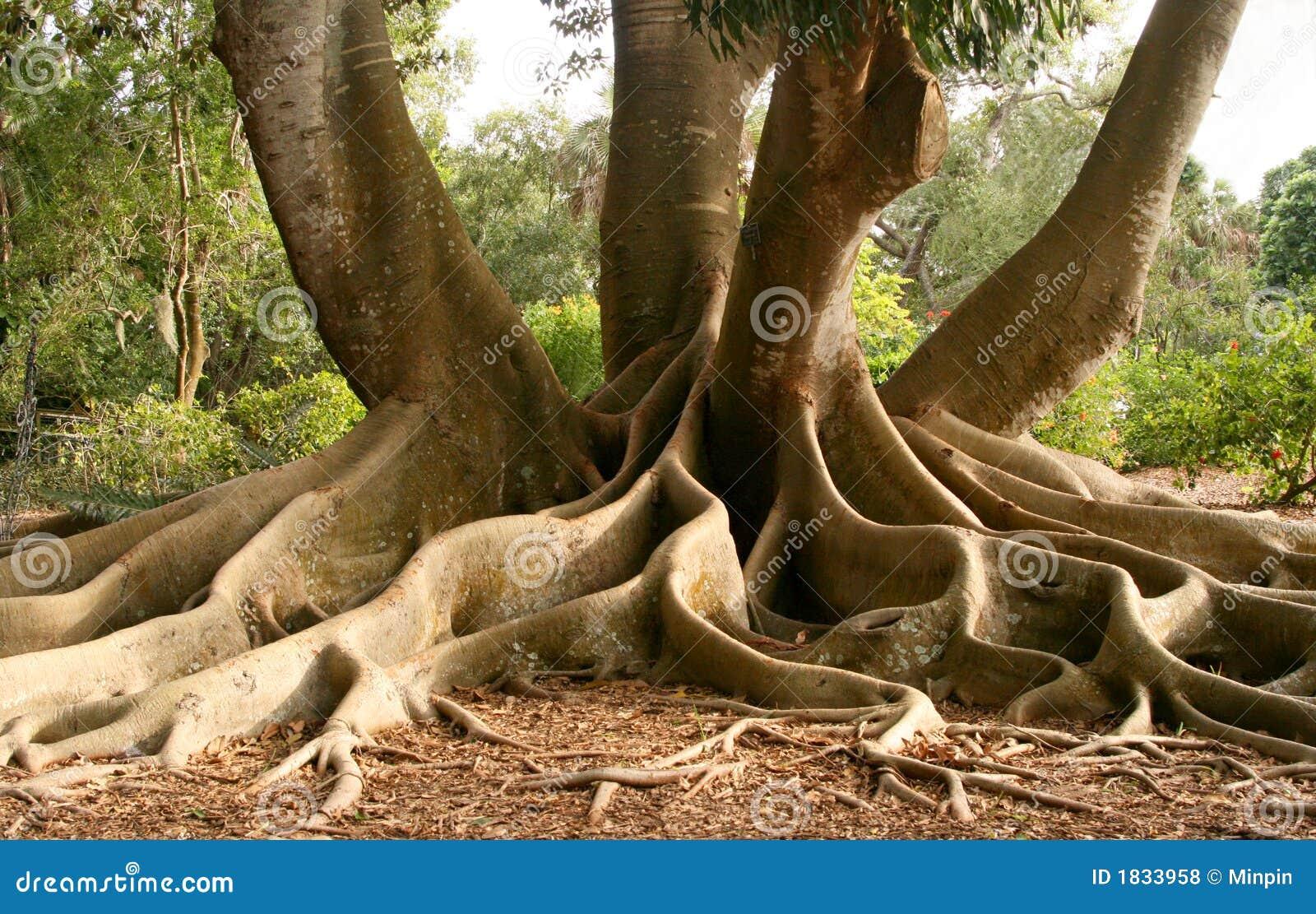 Wurzeln des Schacht-Feigebaums