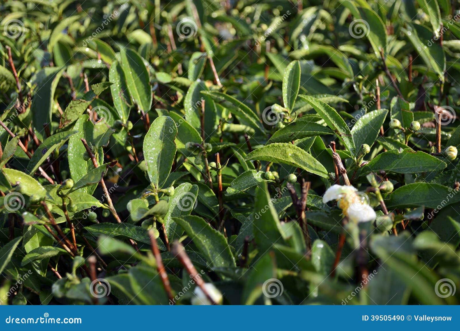 Wuyi Rock tea leaves