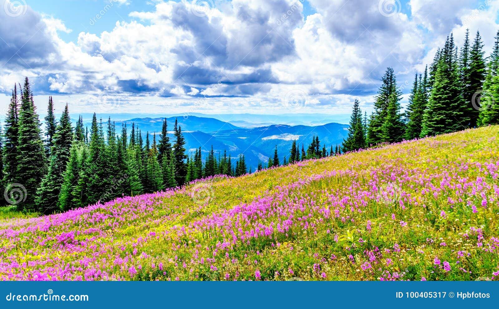 Wycieczkować przez wysokogórskich łąk zakrywać w różowych fireweed wildflowers w wysoki wysokogórskim