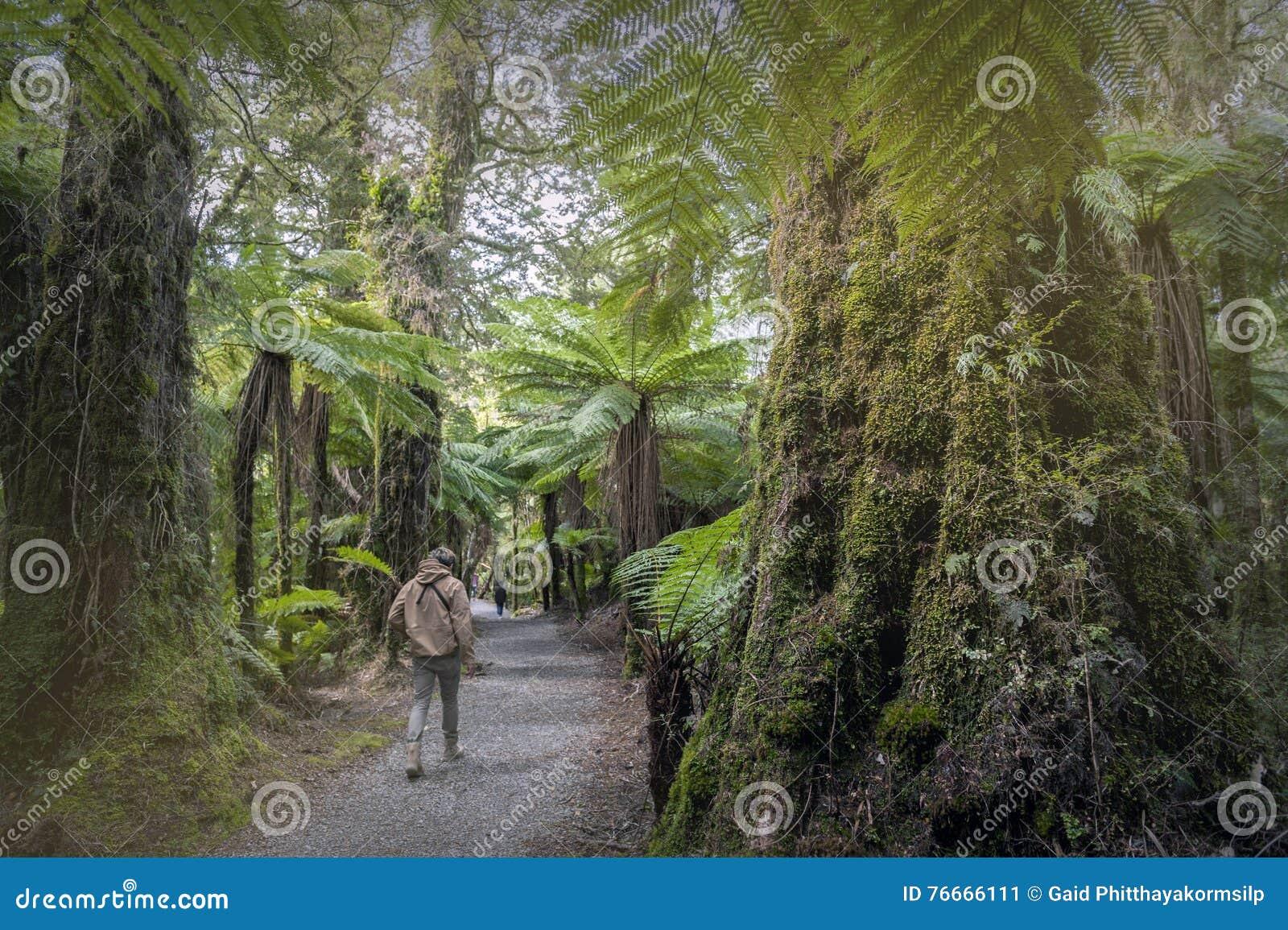 Wycieczkować wędrówkę Ryczeć Billy Spada wśród tropikalnego lasu deszczowego i paproci drzew, Nowa Zelandia