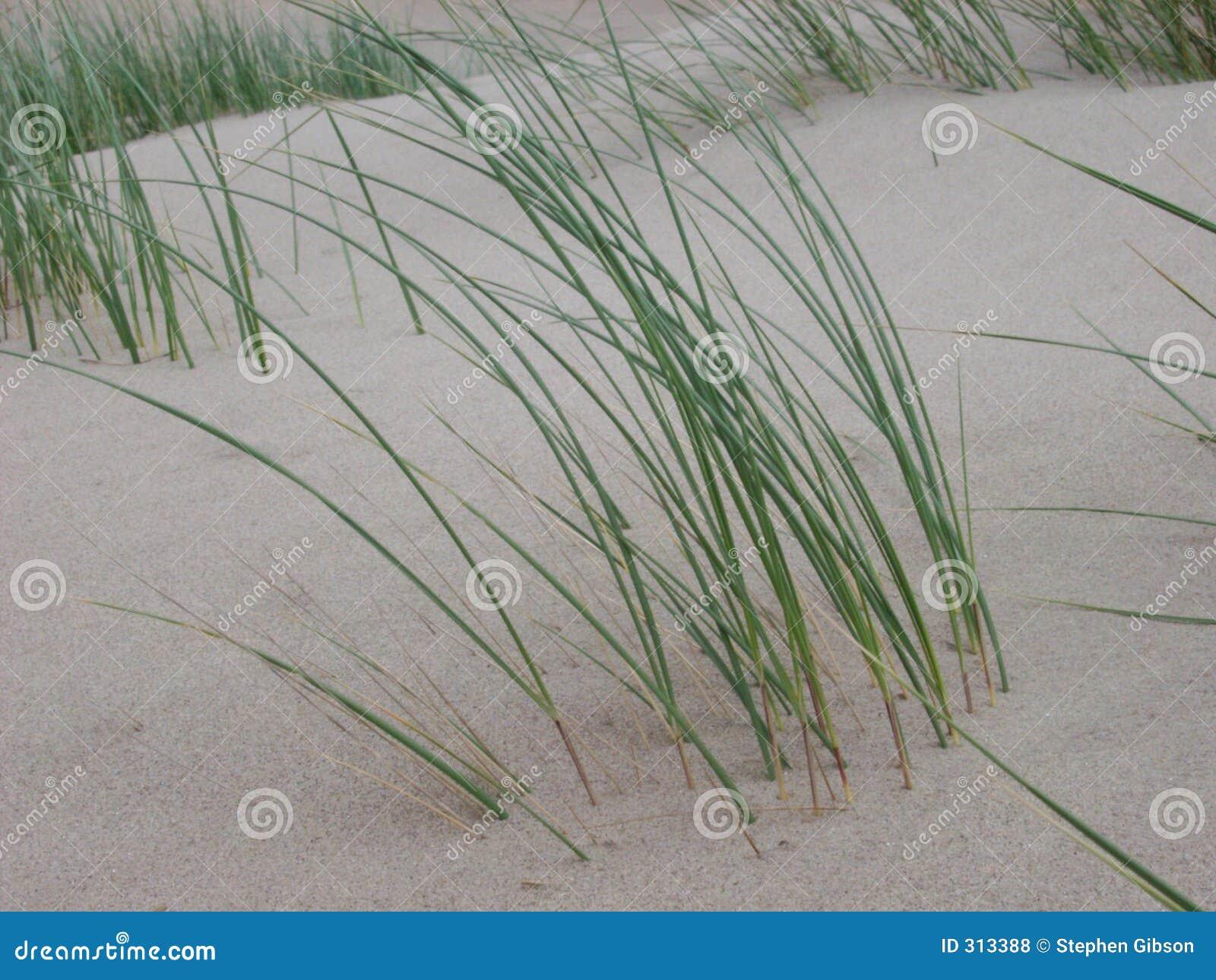 Wydmowa trawy.