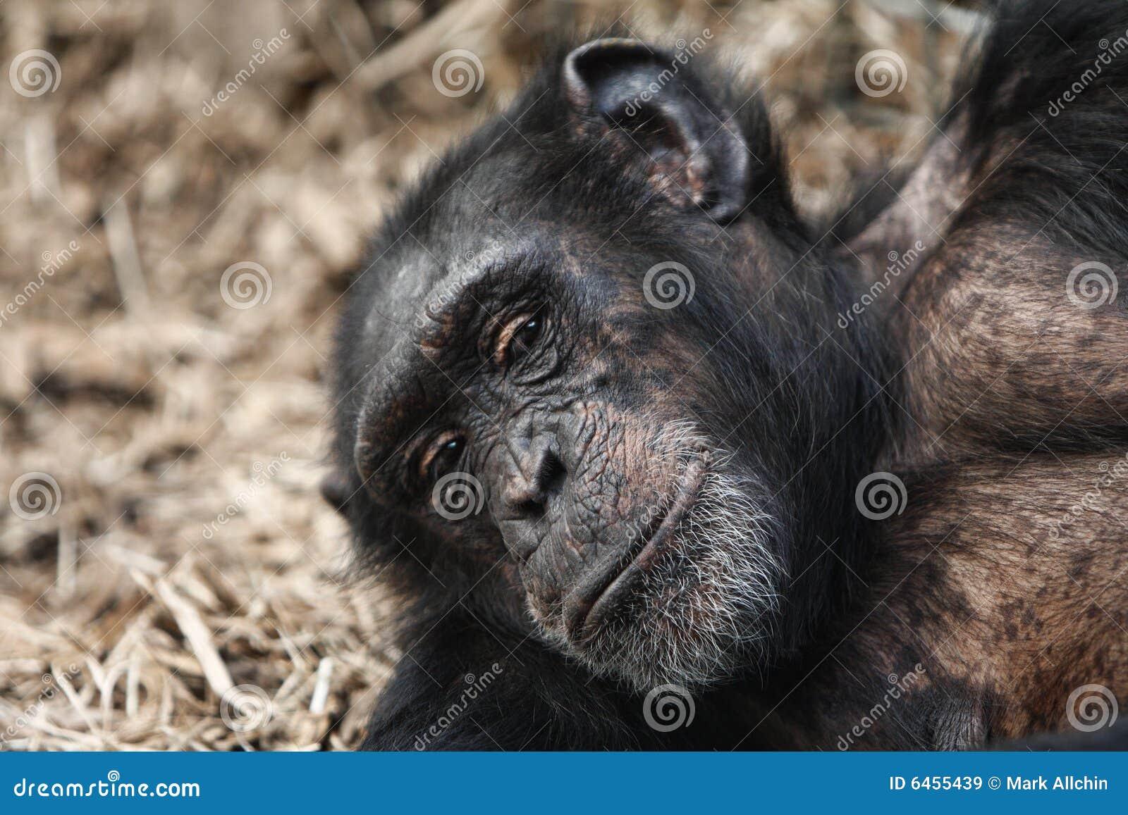 Wygląda szympansa powiedzieć