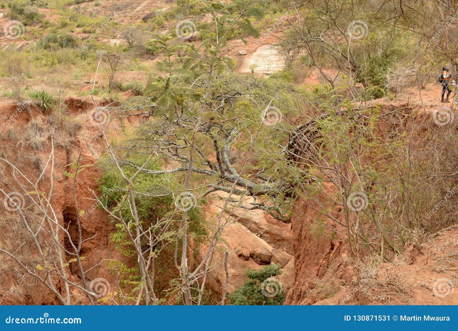 Wygryziona ziemia z few Akacjowymi drzewami, Kilome równiny, Makueni okręg administracyjny, Kenja