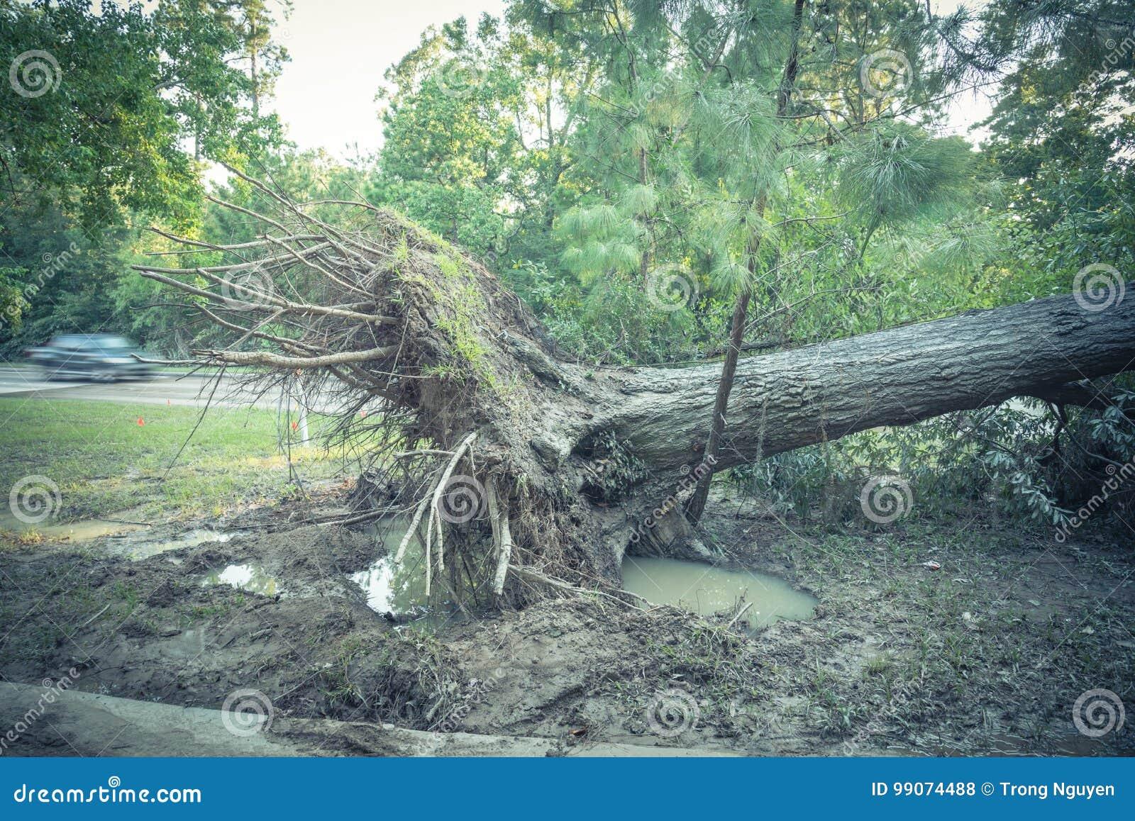 Wykorzeniający Dębowy drzewo