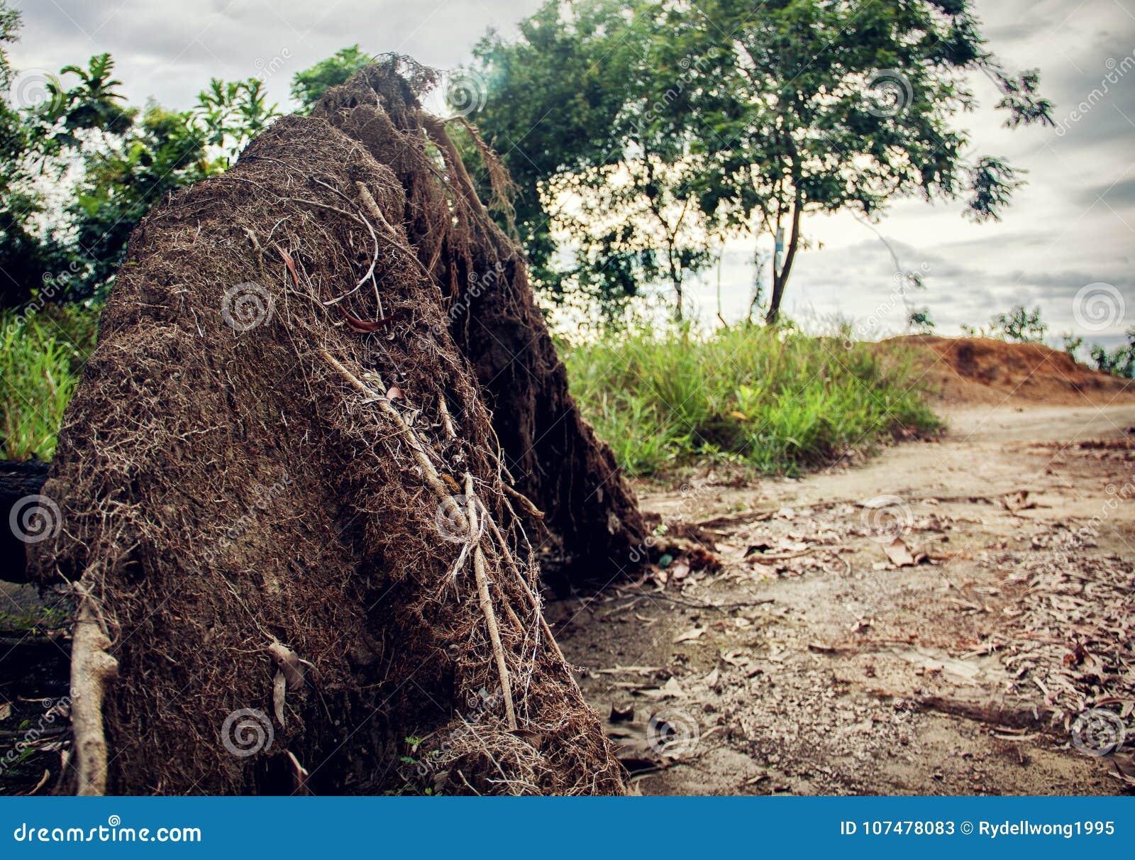 Wykorzeniający drzewo burzą