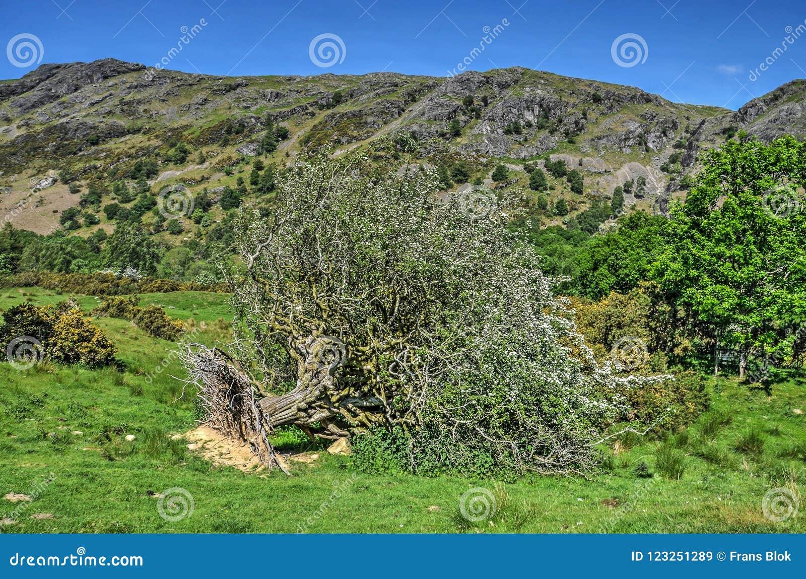 Wykorzeniający drzewo w kwiacie
