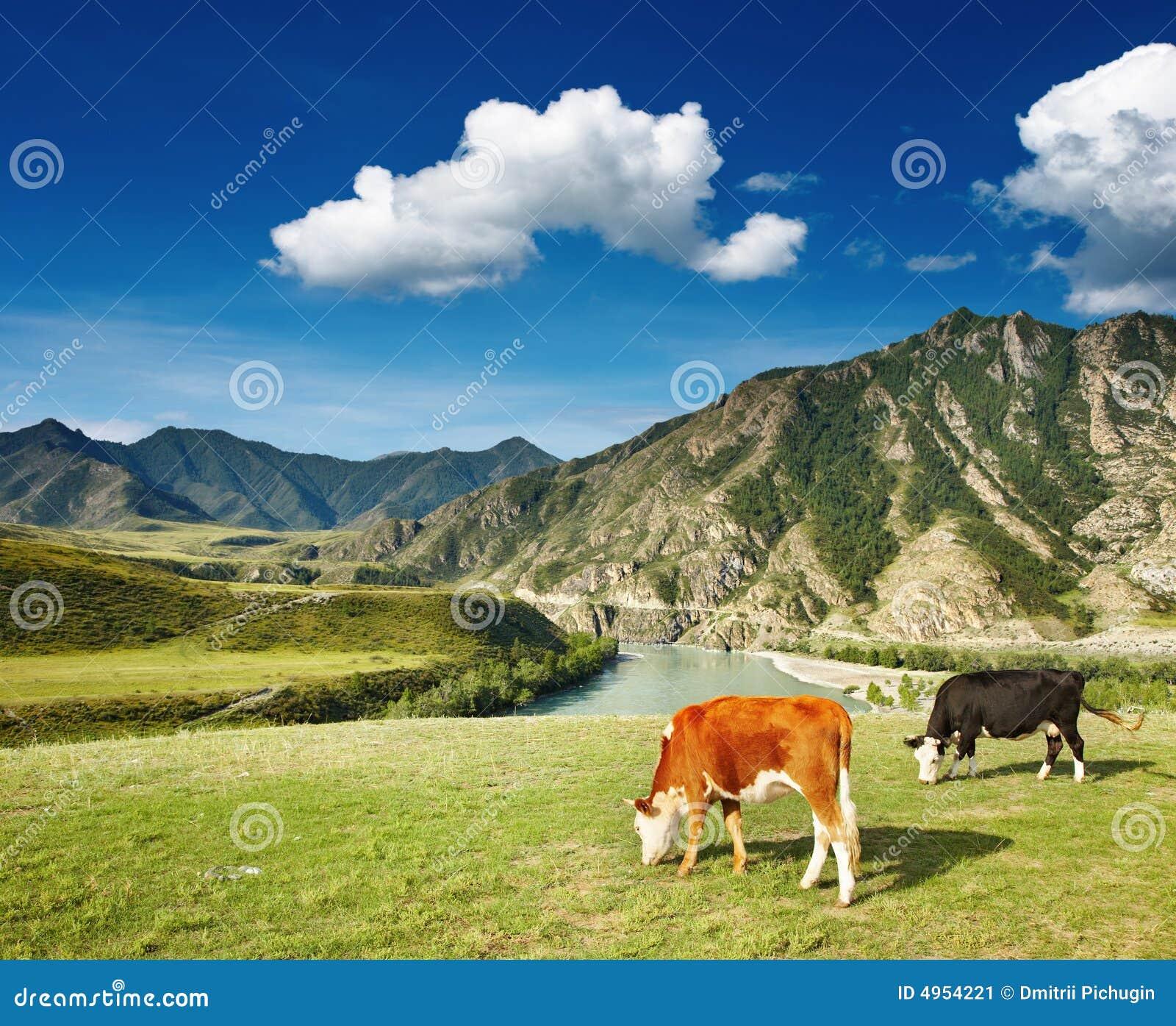 Wypas krów