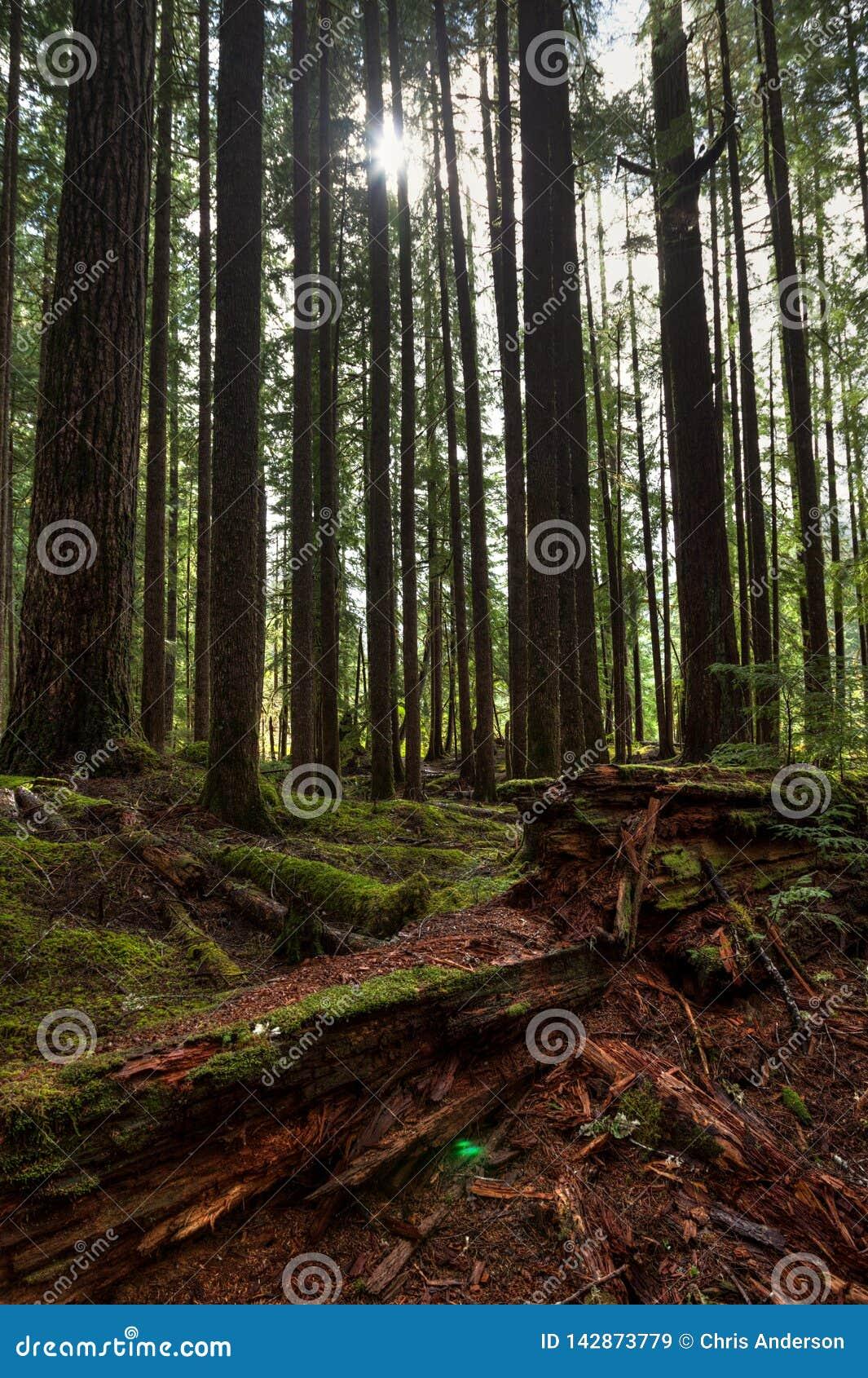 Wysocy drzewa i zbutwiała redwood nazwa użytkownika przedpole i słońca jaśnienie między drzewami w Hoh lesie tropikalnym