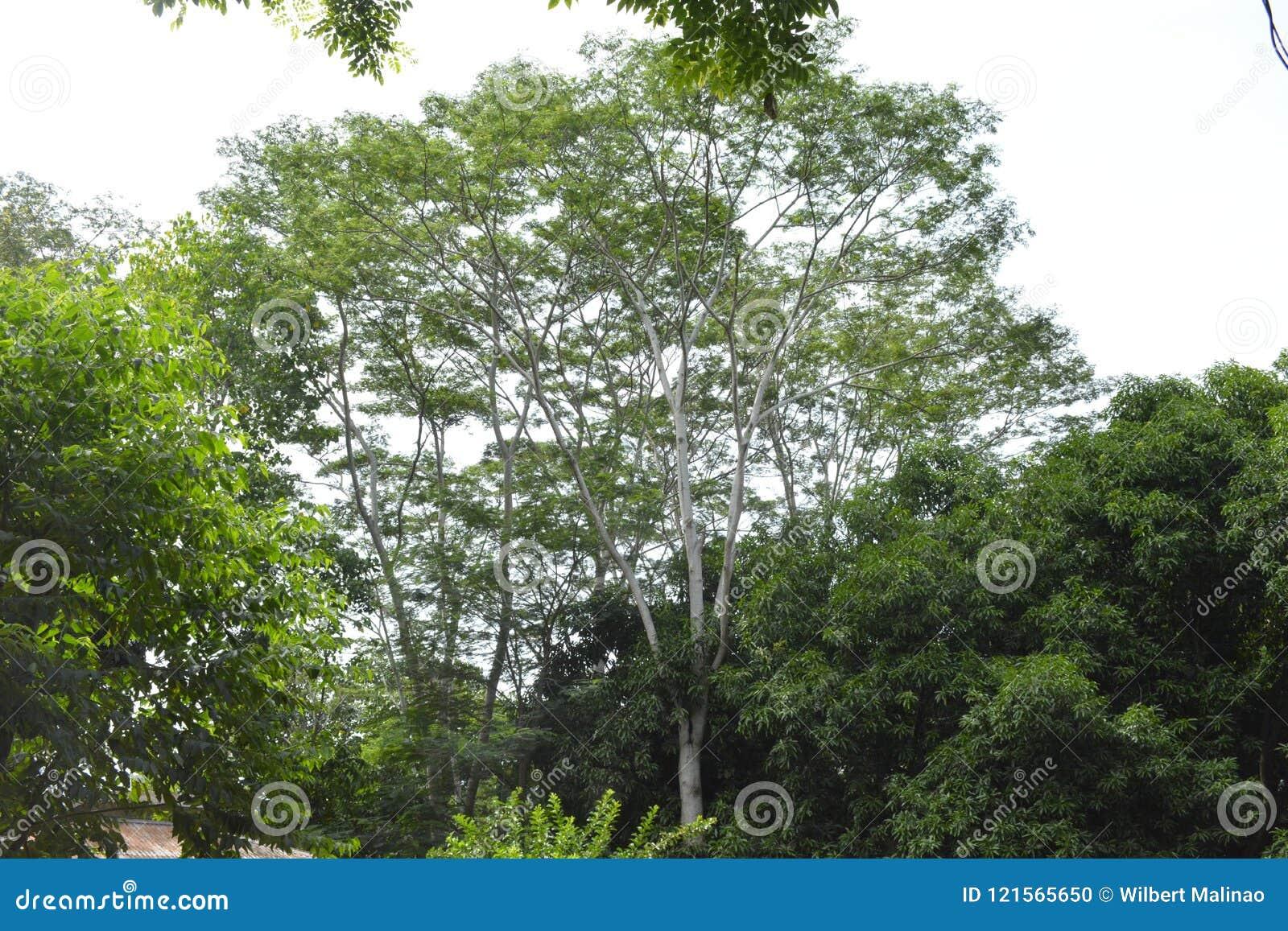 Wysocy drzewa reprezentują wielkie nadzieje