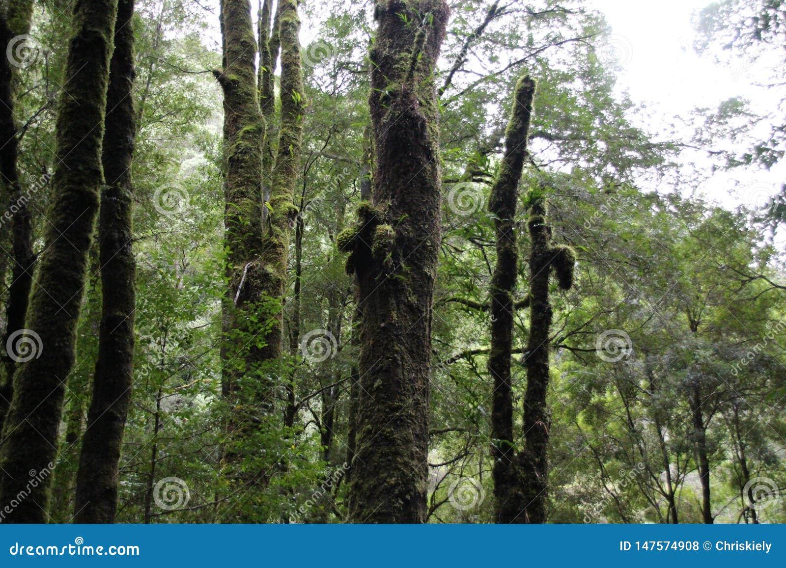 Wysocy drzewa w Tasmanian lesie