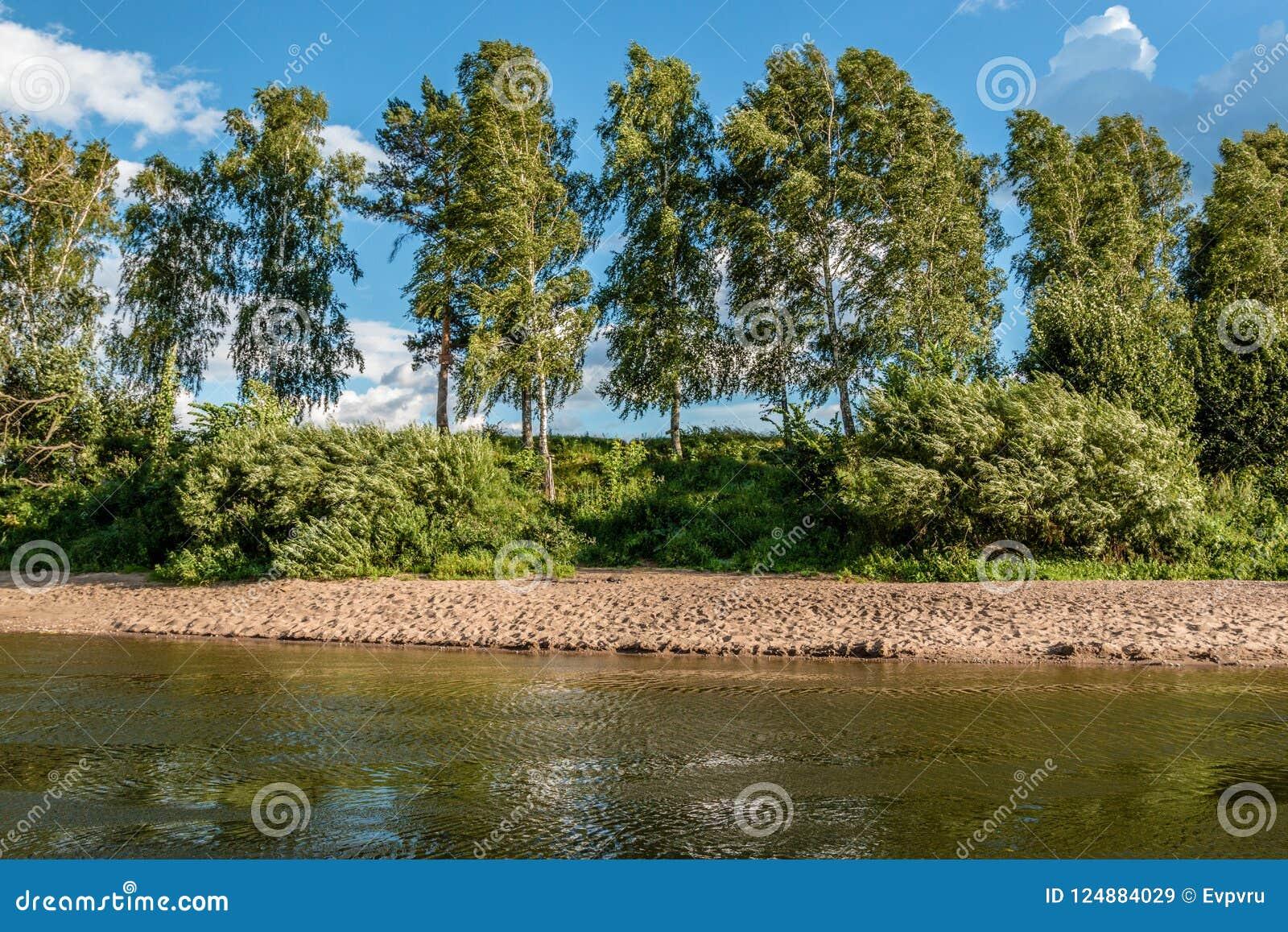 Wysokie brzozy r na brzeg rzeki