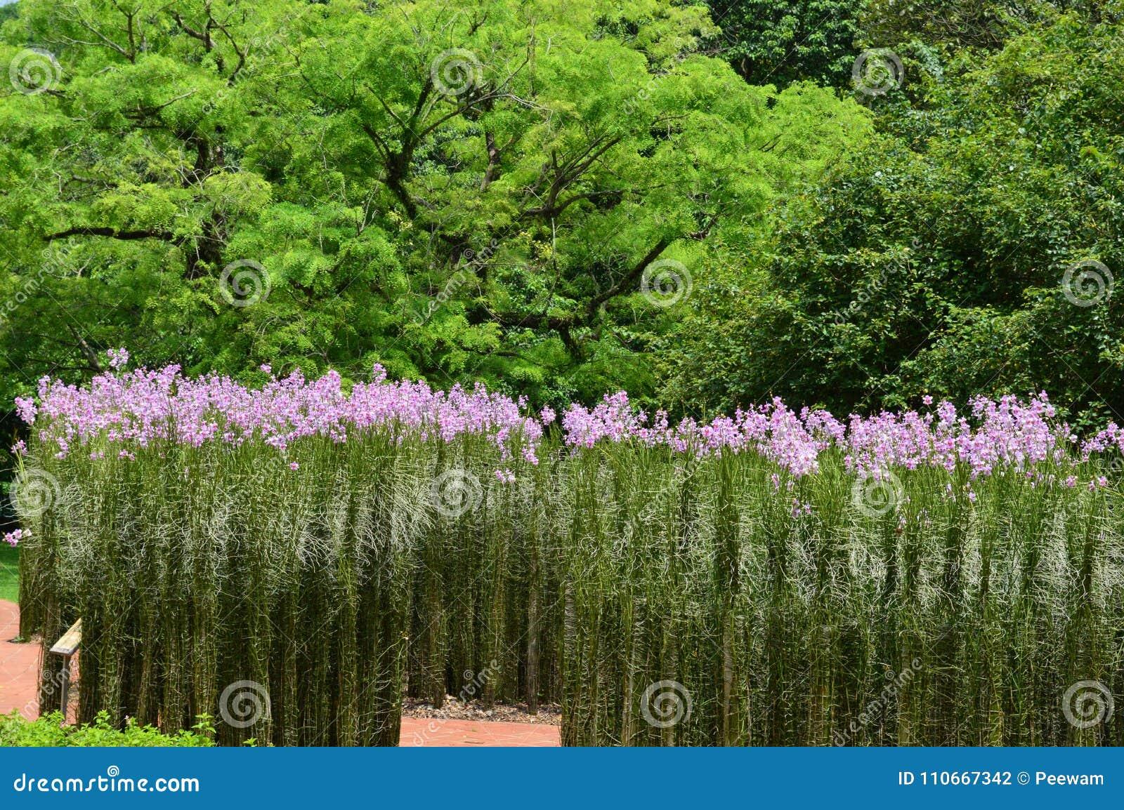 Wysokie proste rośliny z purpurowymi kwiatami przy Singapur ogródami botanicznymi