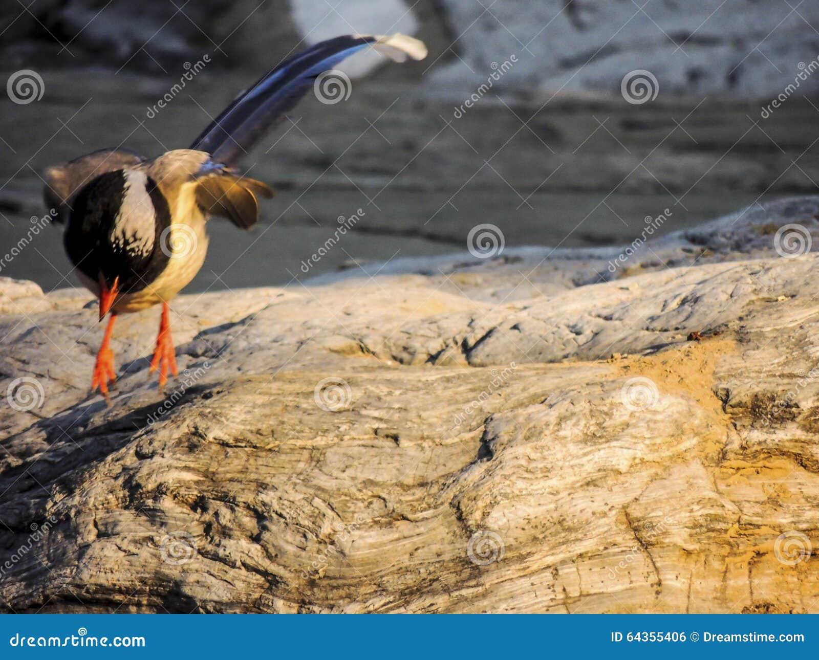 Wystawiająca rachunek Błękitna sroka, ptak