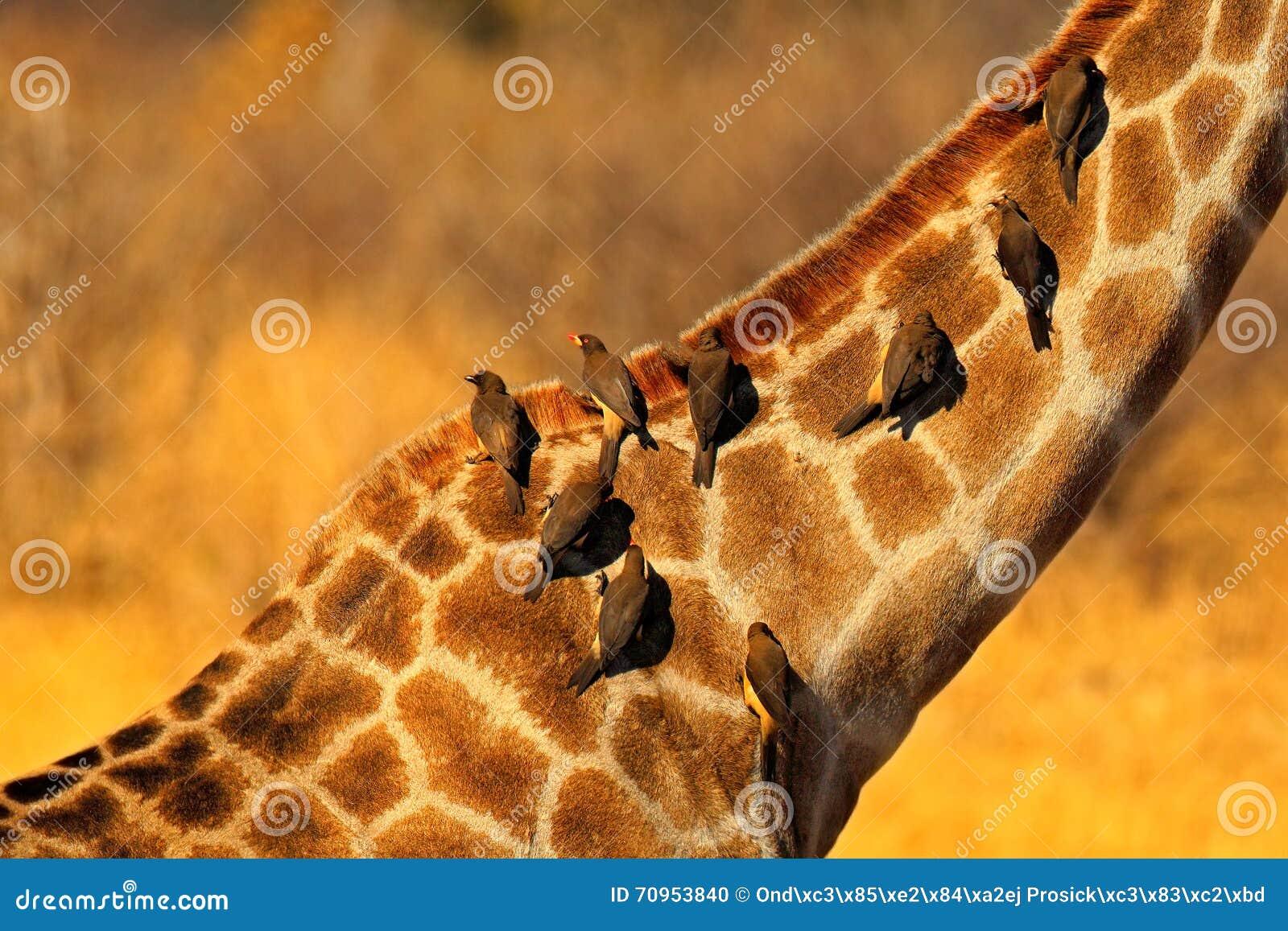 Wystawiający rachunek Oxpecker, Buphagus africanus, ptaki na girafe szyi, Hwange park narodowy, Zimbabwe