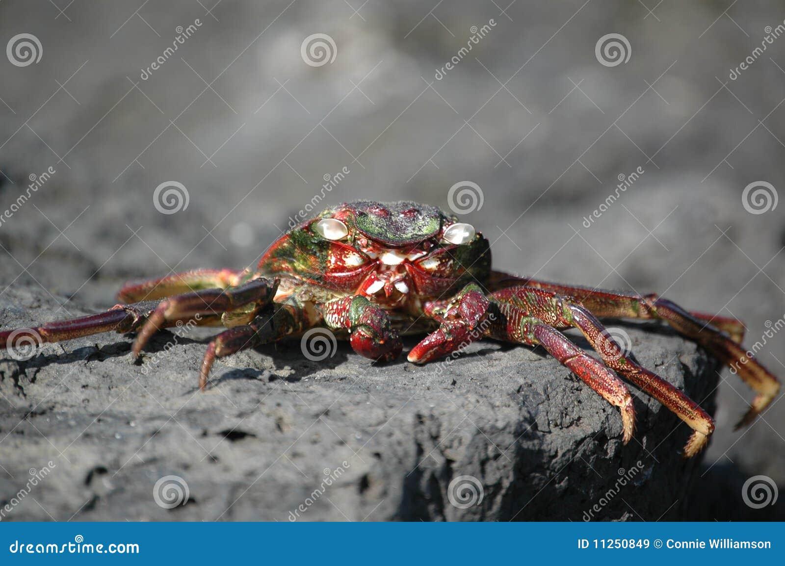 Wysuszony kraba słońce