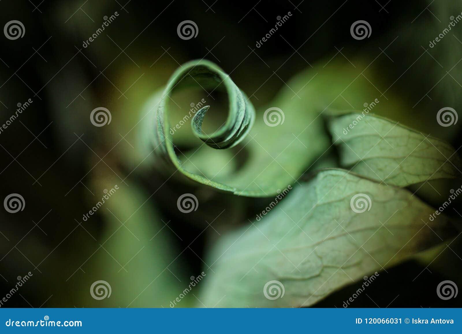 Wysuszony liść fryzujący jak spirala zamknięty zamknięta natura