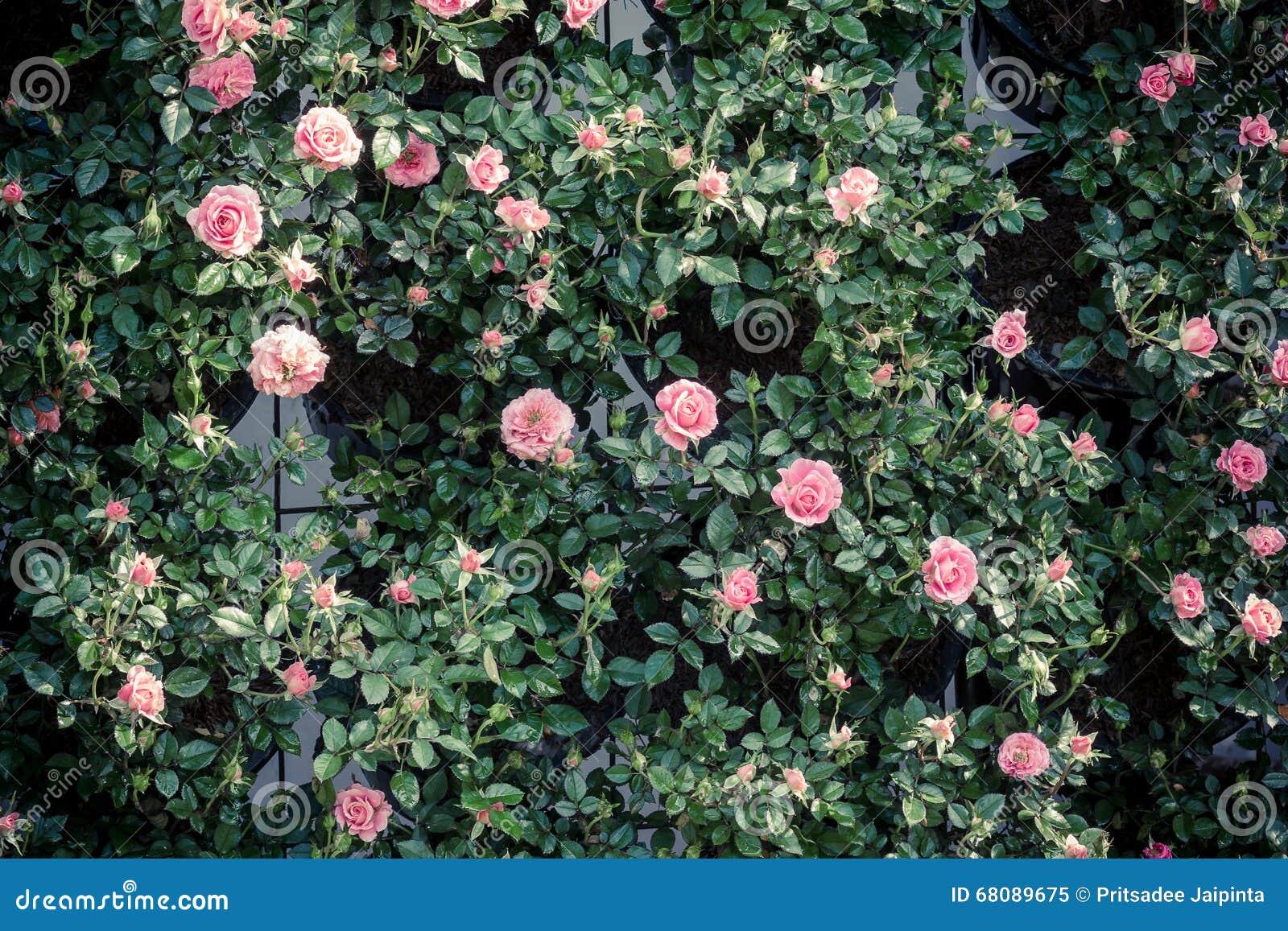 Wzór świeże różowe róże
