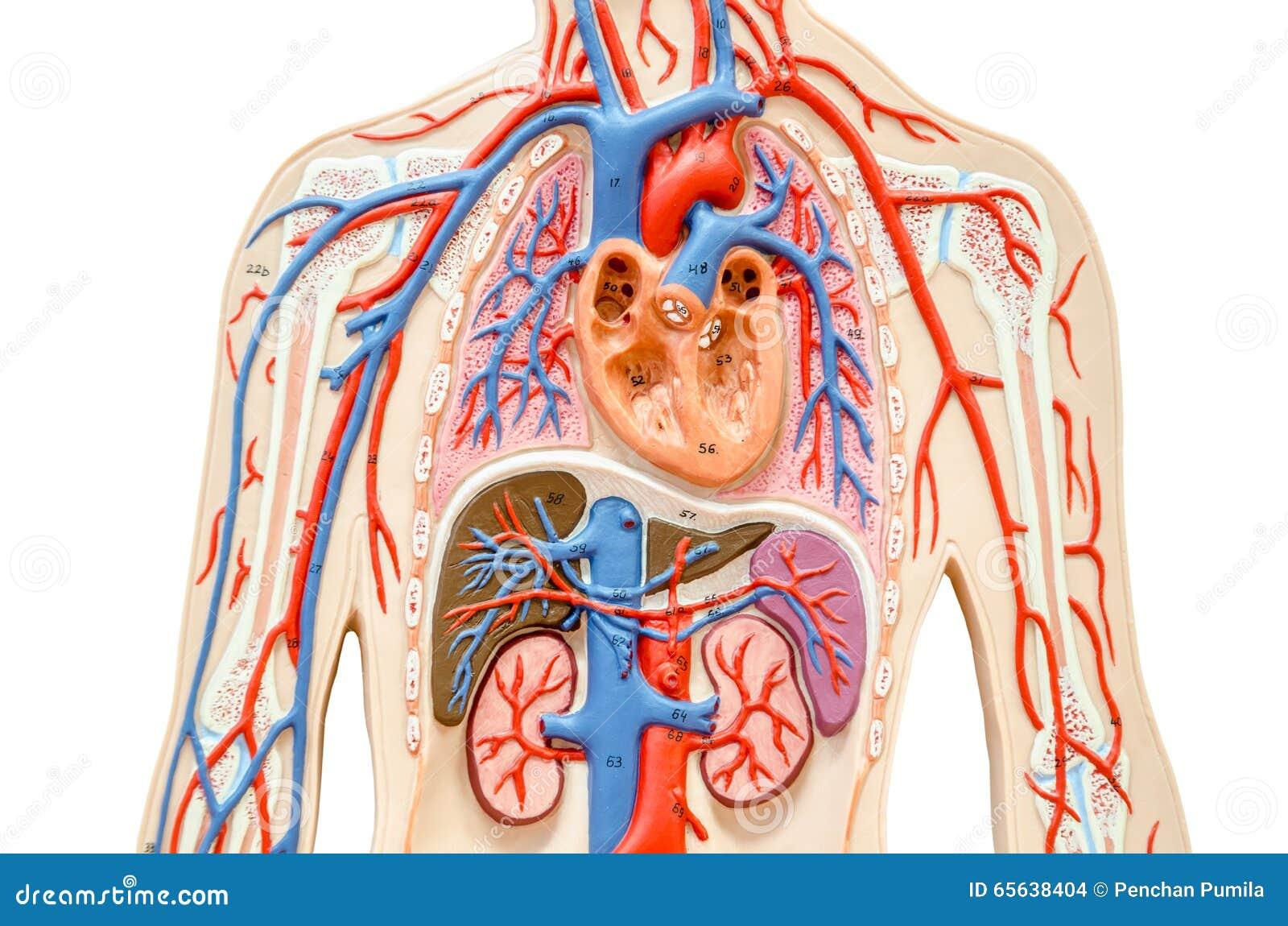 Wzorcowy ciało ludzkie z wątróbką, cynaderki, płucami i sercem,