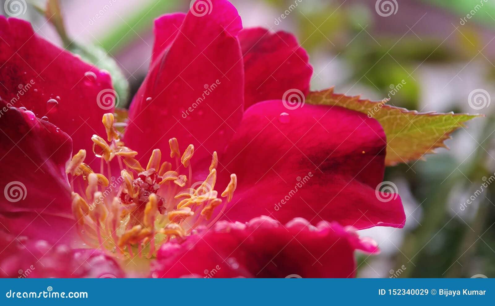 Wzrastał kwiatu anther i piętno strzału makro- jasny skupiał się