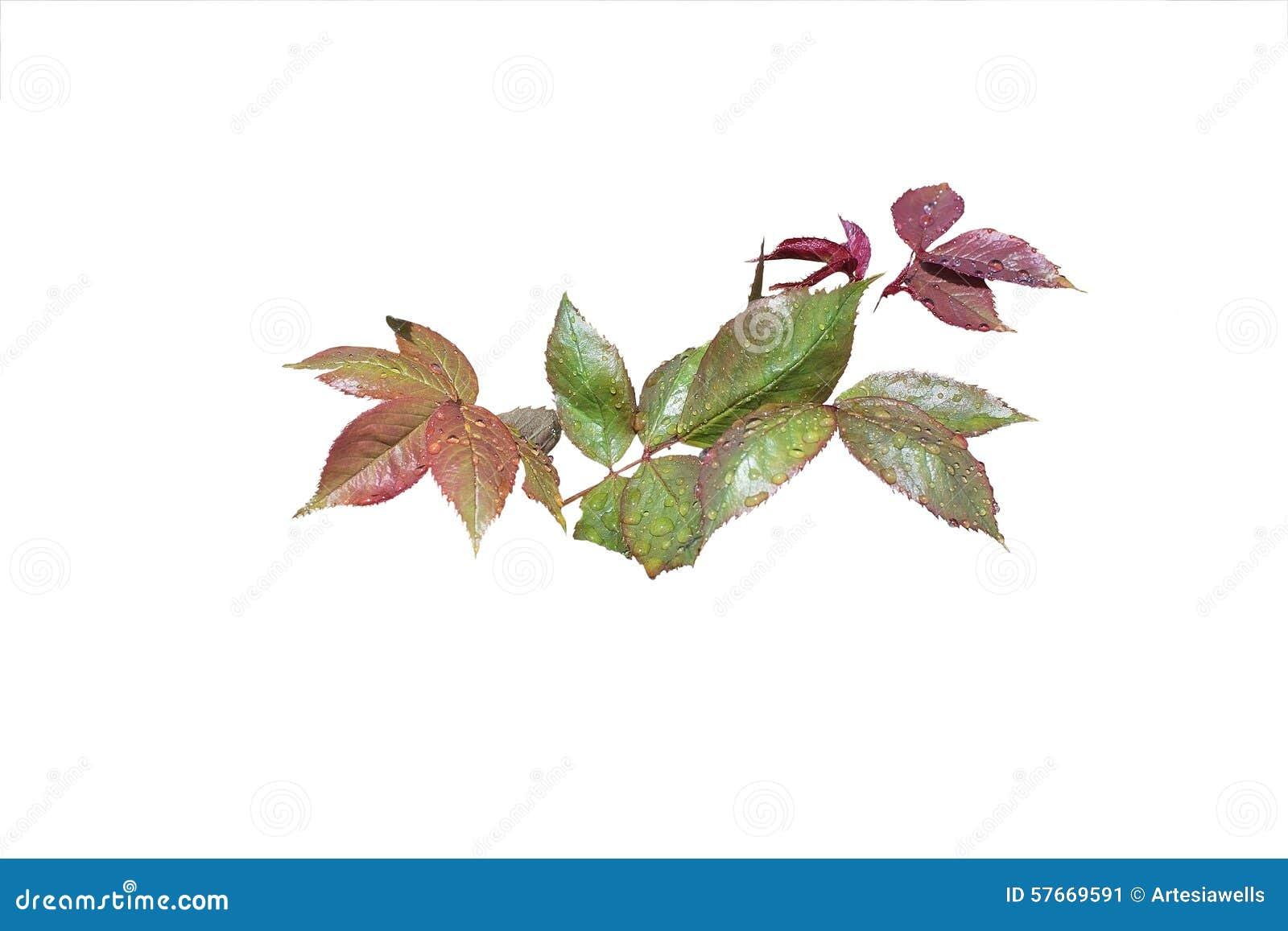 Wzrastał liścia zbliżenie