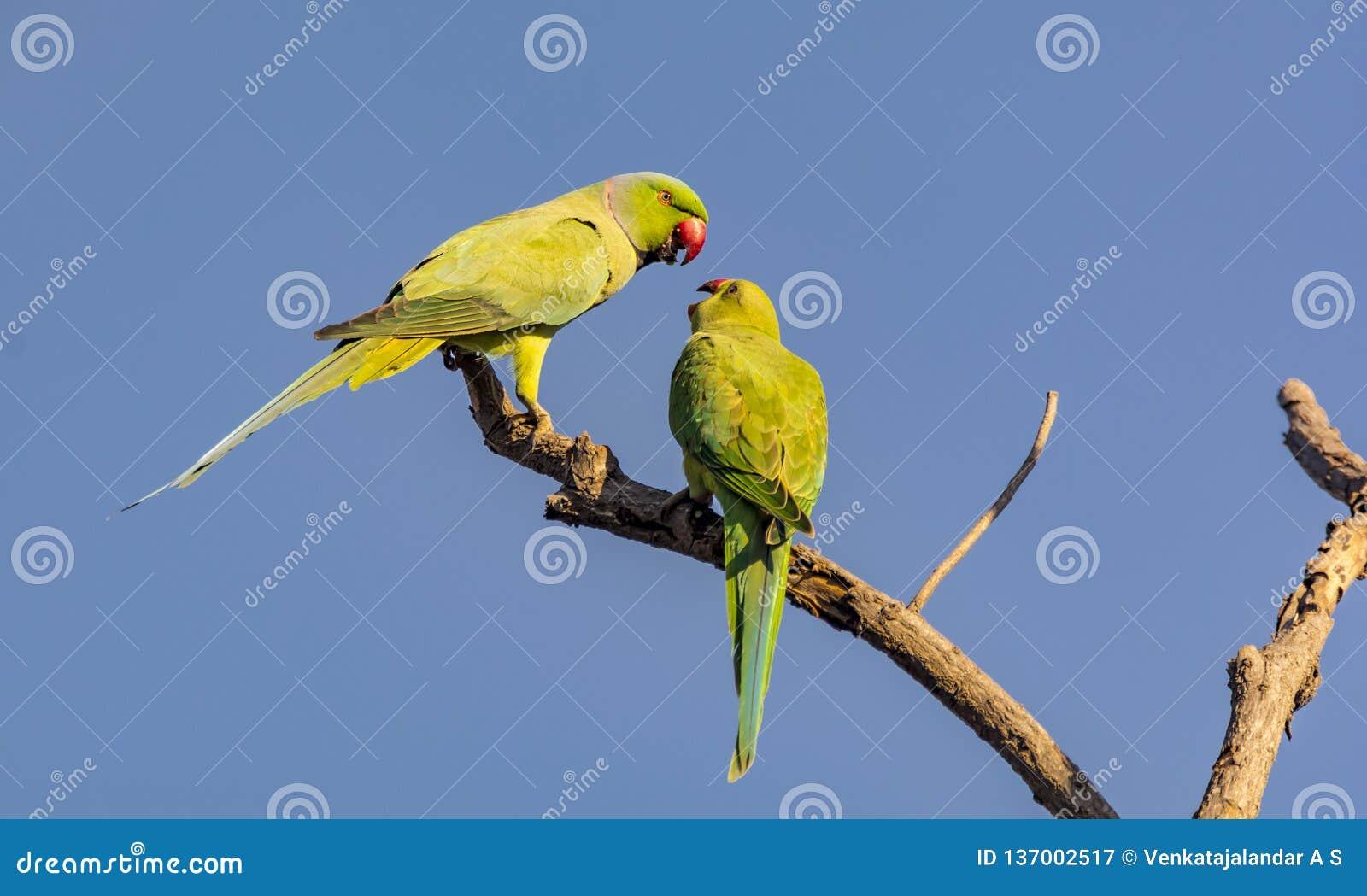 Wzrastał Upierścienionego Parakeet - pary gawędzenie
