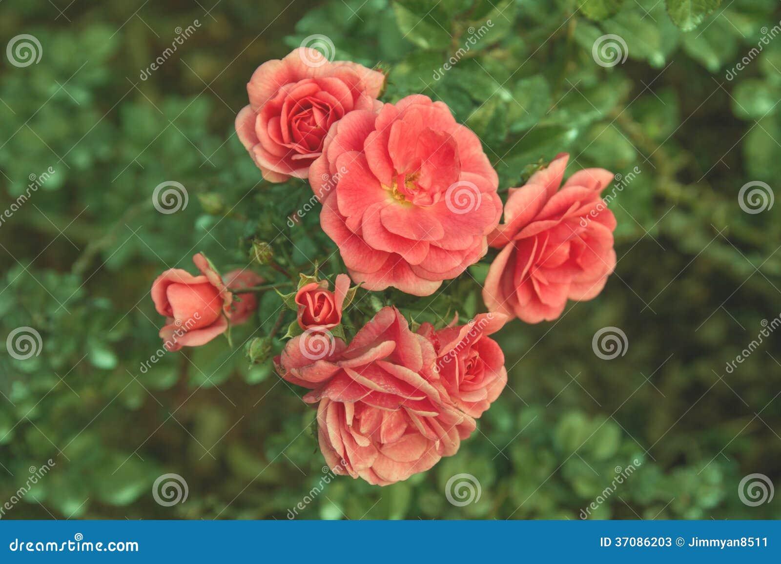 Download Wzrastał obraz stock. Obraz złożonej z naturalny, menchie - 37086203