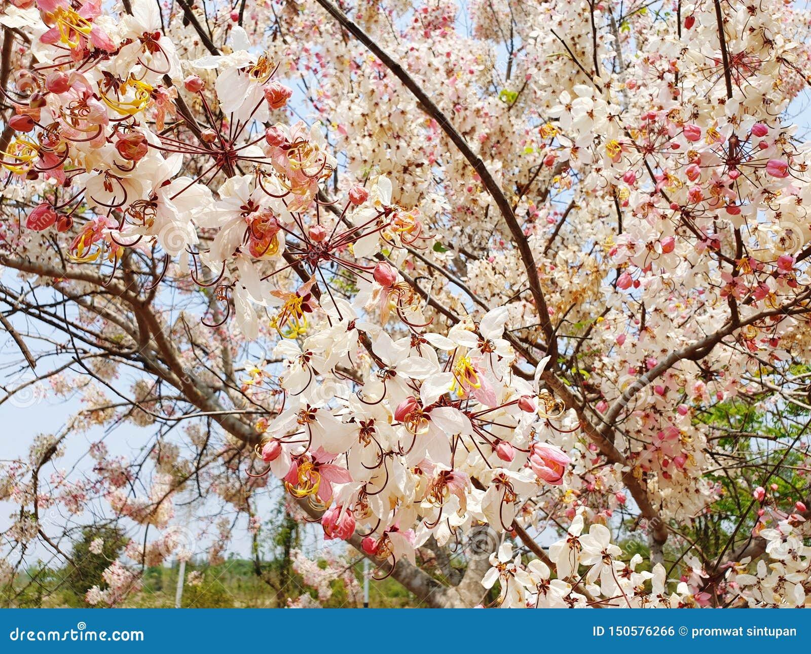 Xérès de la Thaïlande Sakura