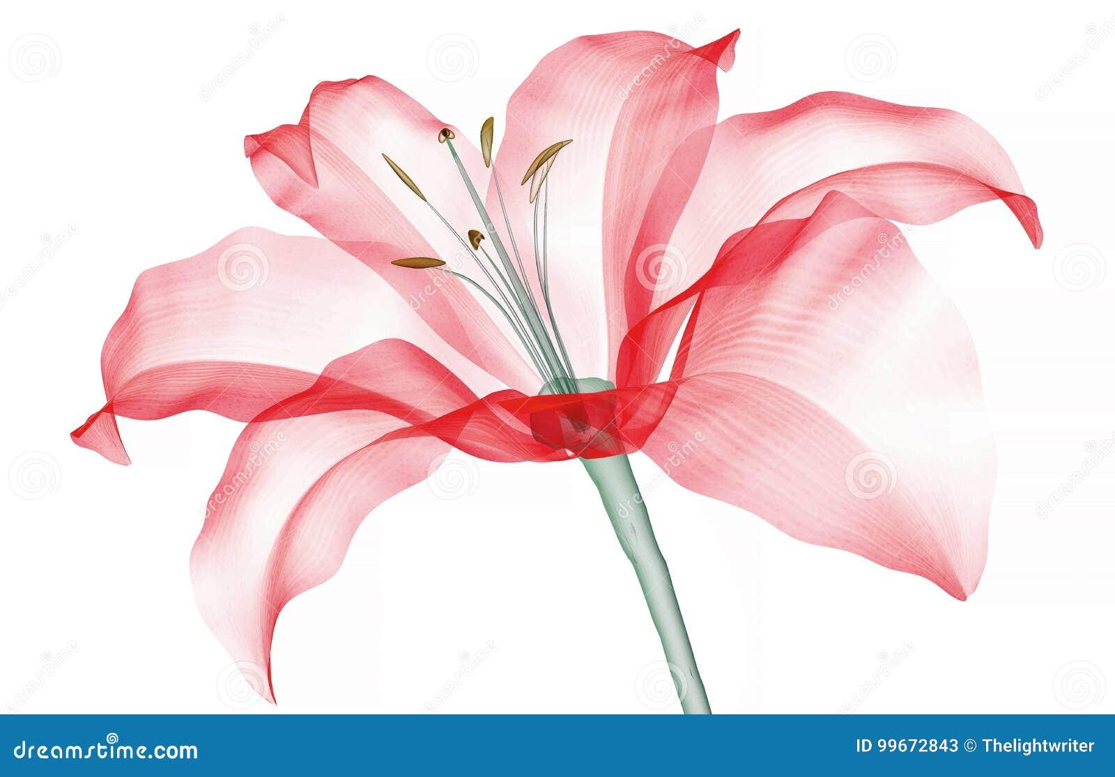 X射线辐射在白色隔绝的花,百合的图象