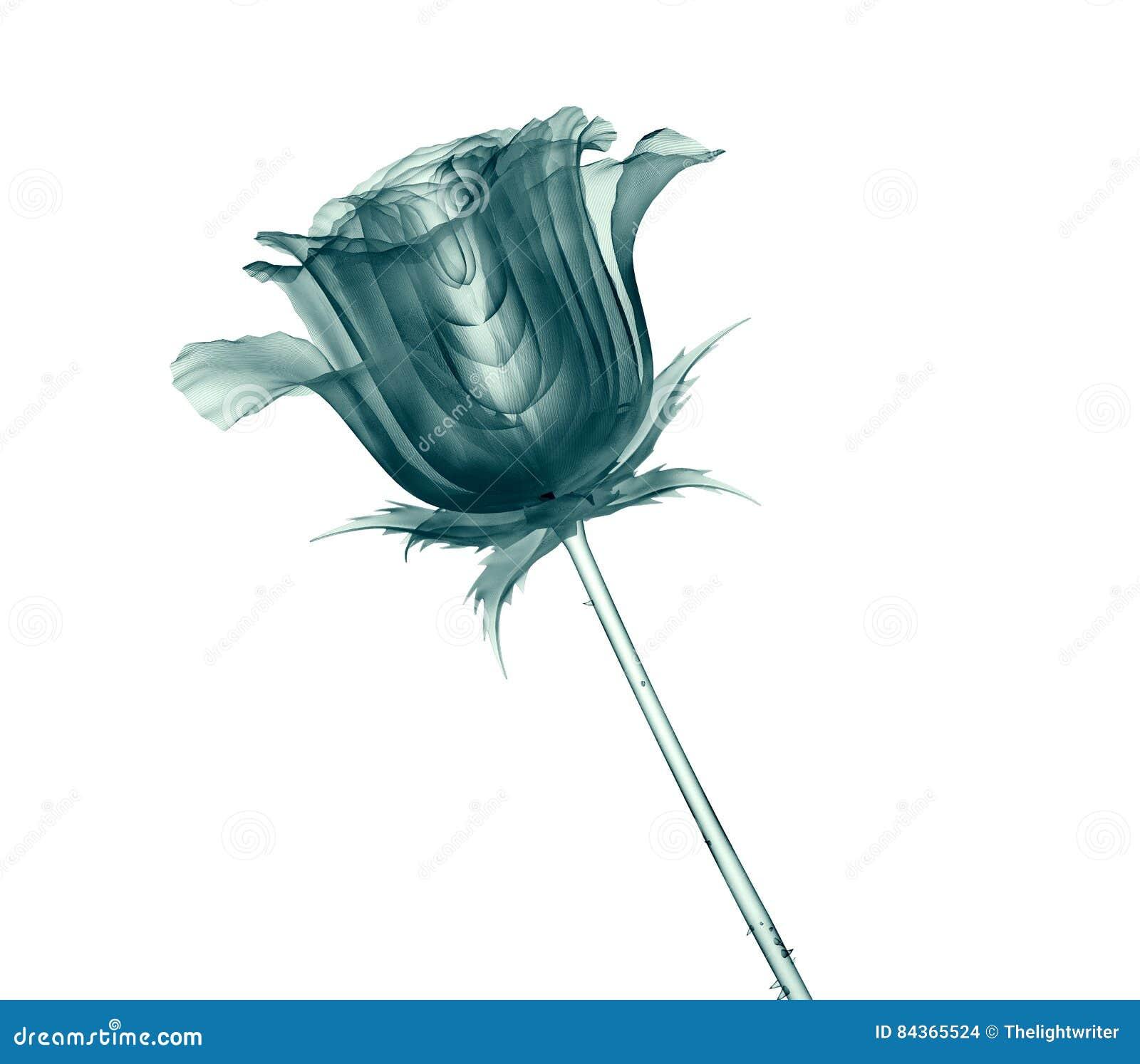 X射线辐射在白色隔绝的花,玫瑰的图象
