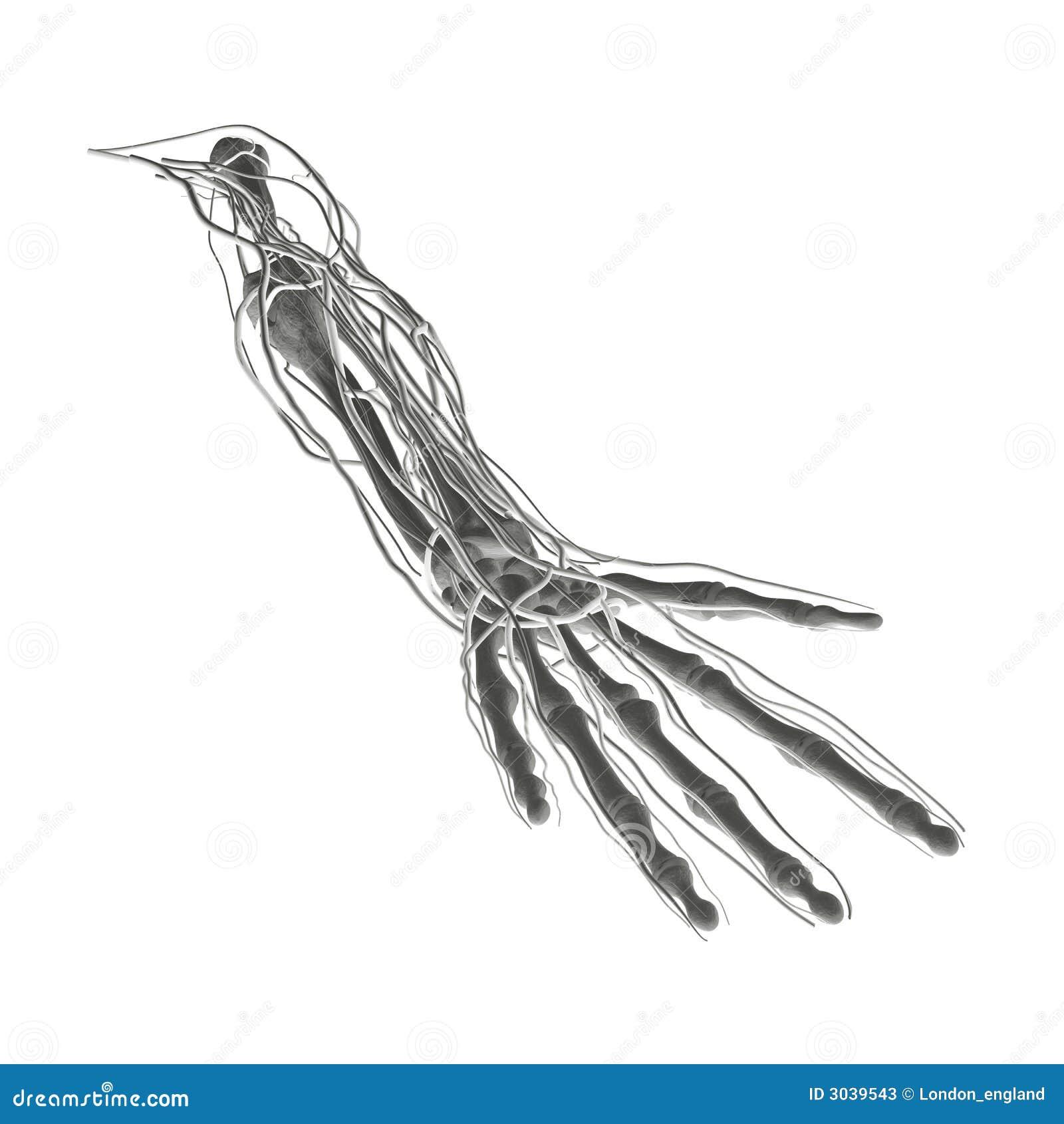 X-ray Bones Arteries Veins Stock Illustration