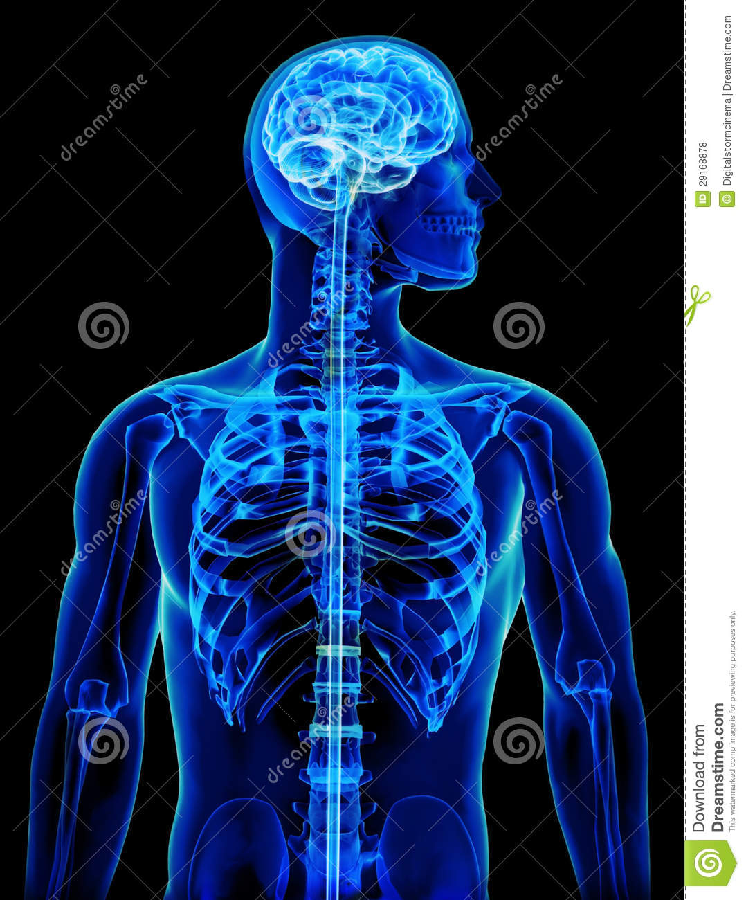 X-ray With Brain And Spinal Cord Concept Stock Illustration ...