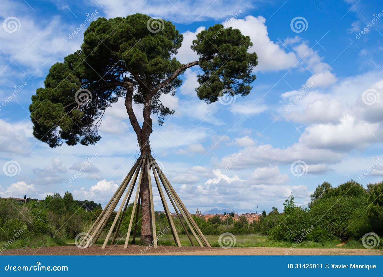Xandri pine. Collserola, Spain.