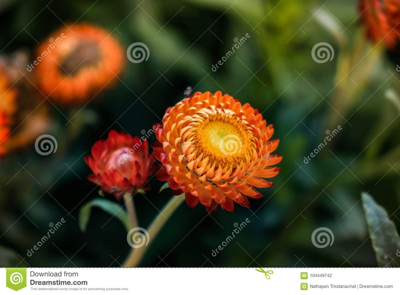 Beautiful Straw Flowers Facing Sunshine Stock Photo Image Of