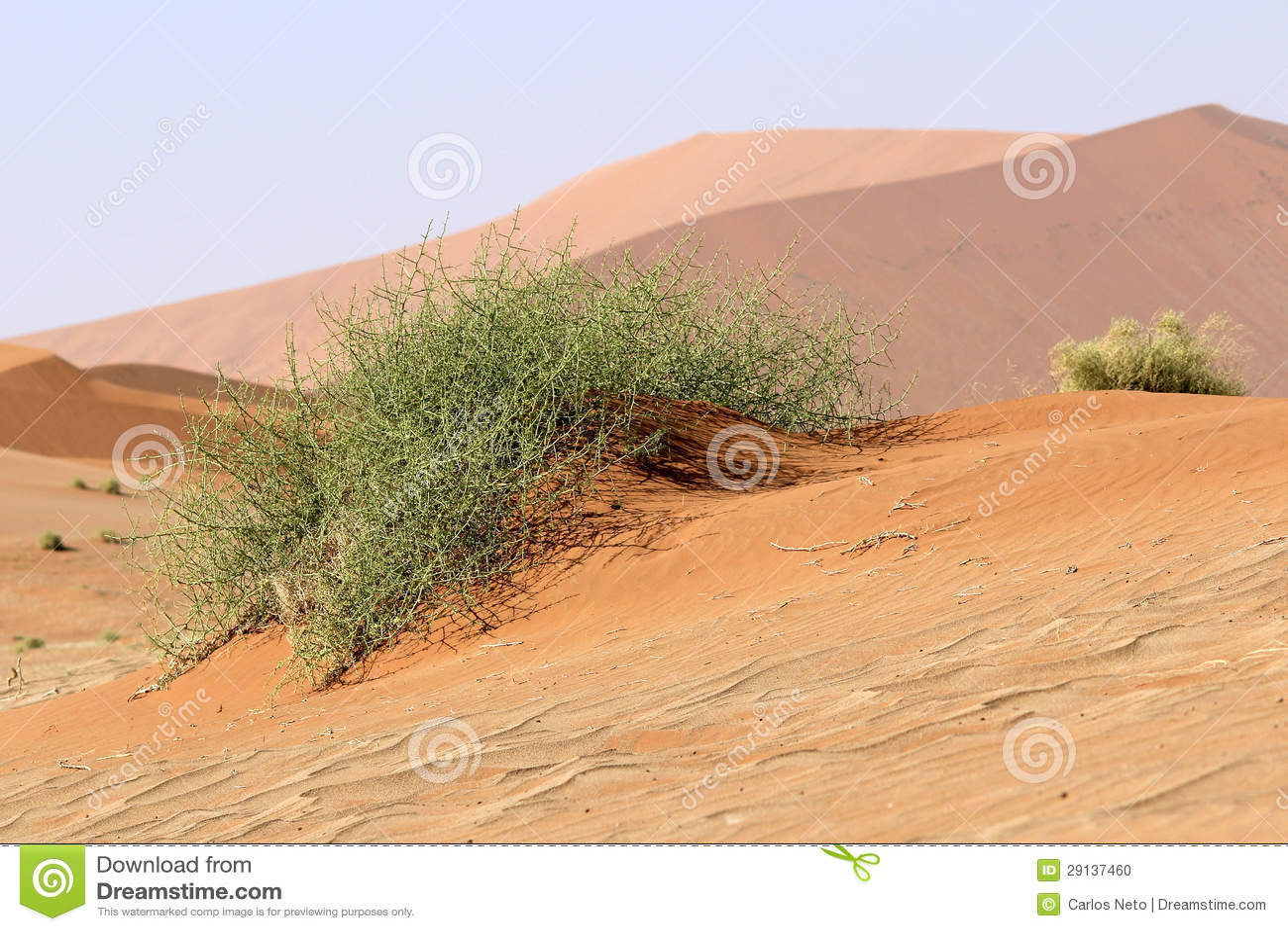 Xerophytic installatie (horrida Acanthosicyos) in zandige Namib Dese