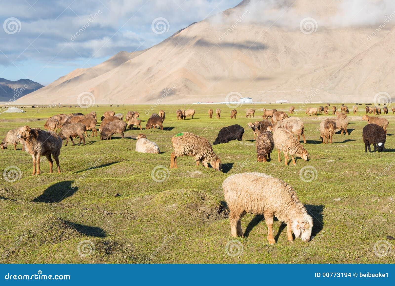 XINJIANG, CINA - 21 maggio 2015: Pecore nel lago karakul una l famosa