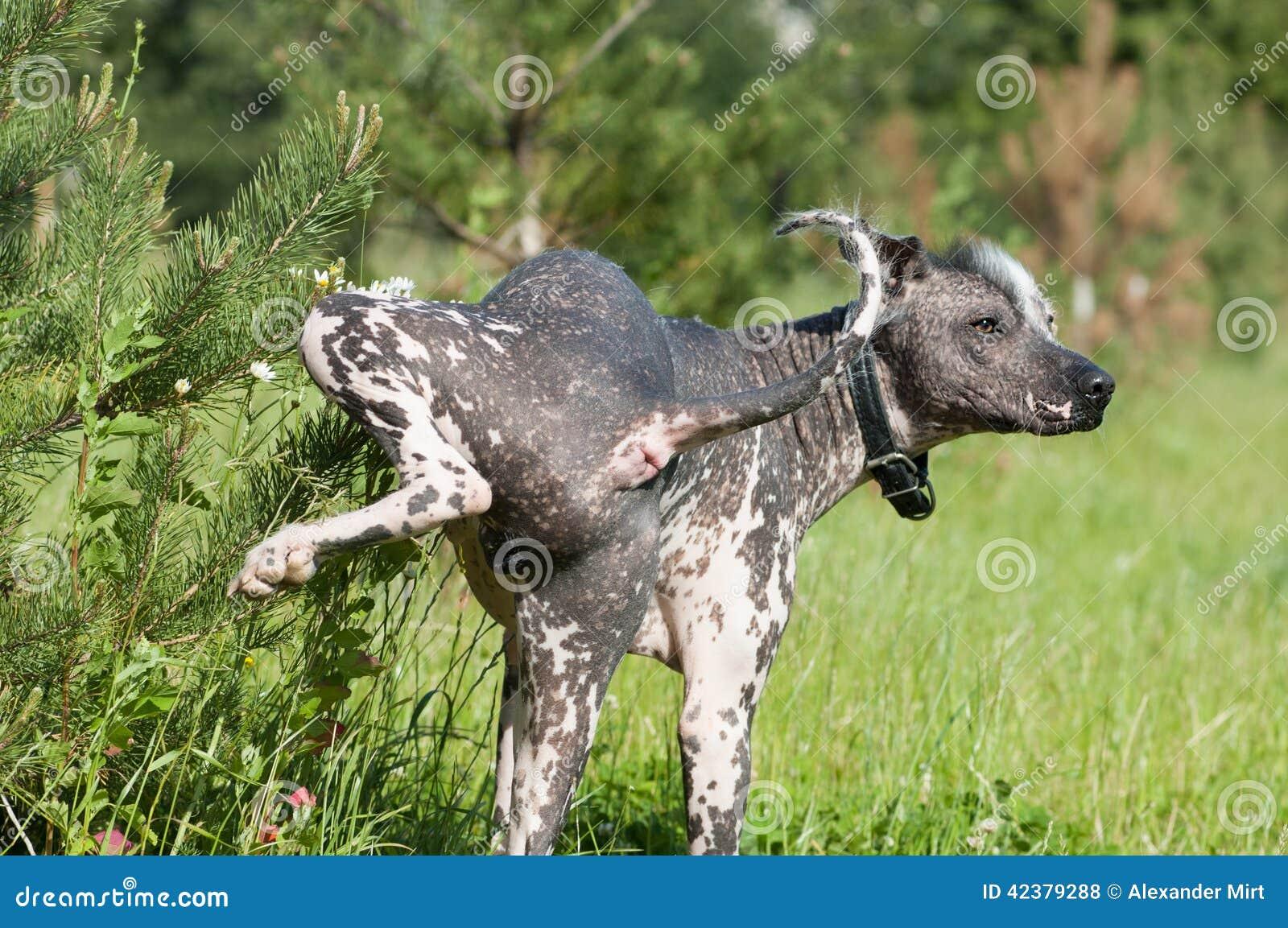 Xixi mexicano calvo do cão