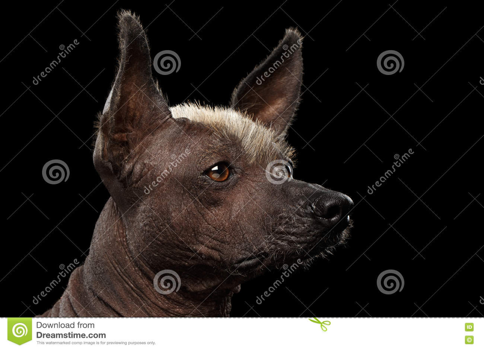 Xoloitzcuintle - άτριχη μεξικάνικη φυλή σκυλιών, πορτρέτο στούντιο στο μαύρο υπόβαθρο