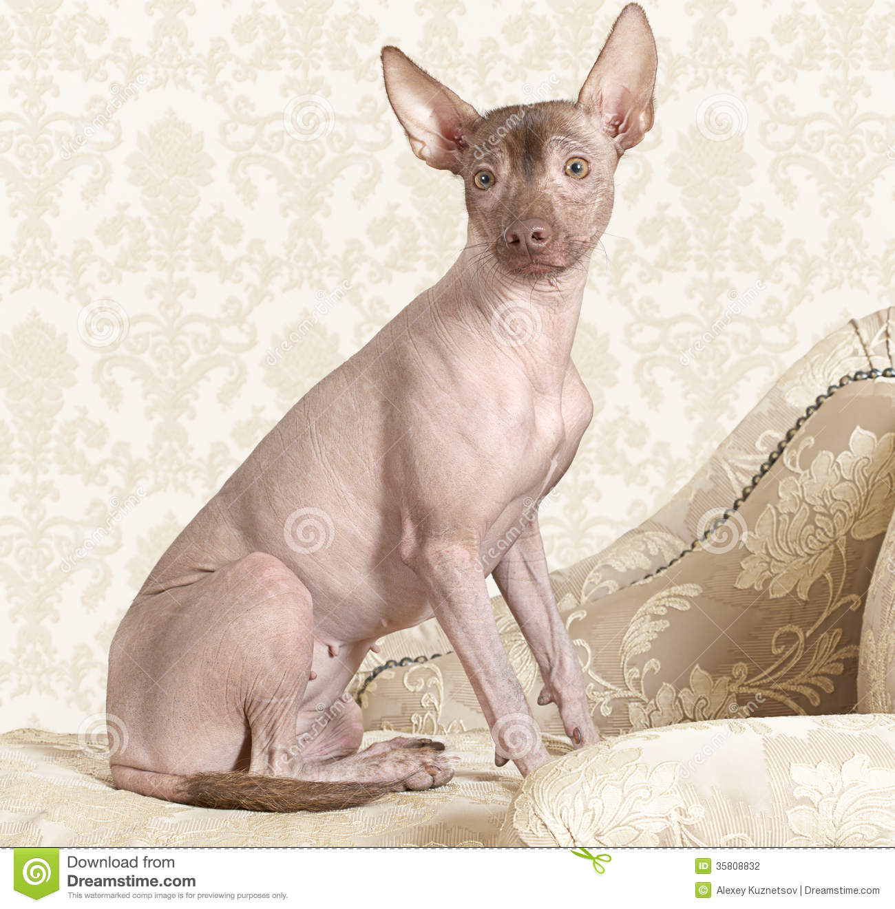 Xoloitzcuintle Dog On A Antique Couch Stock Photography - Image ...