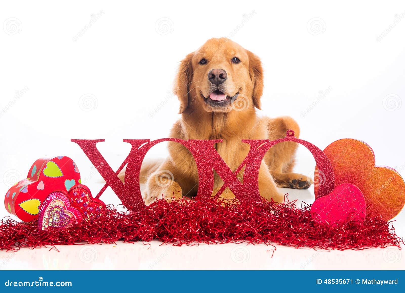 Xoxo Golden Retriever Dog On Valentines Day Stock Image Image Of