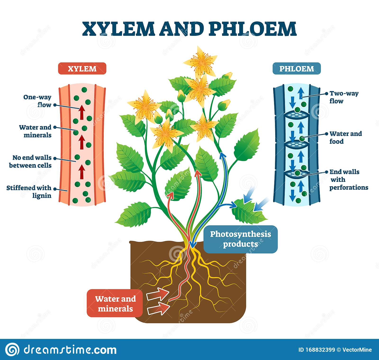 Xylem Cartoons, Illustrations & Vector Stock Images - 159 ...